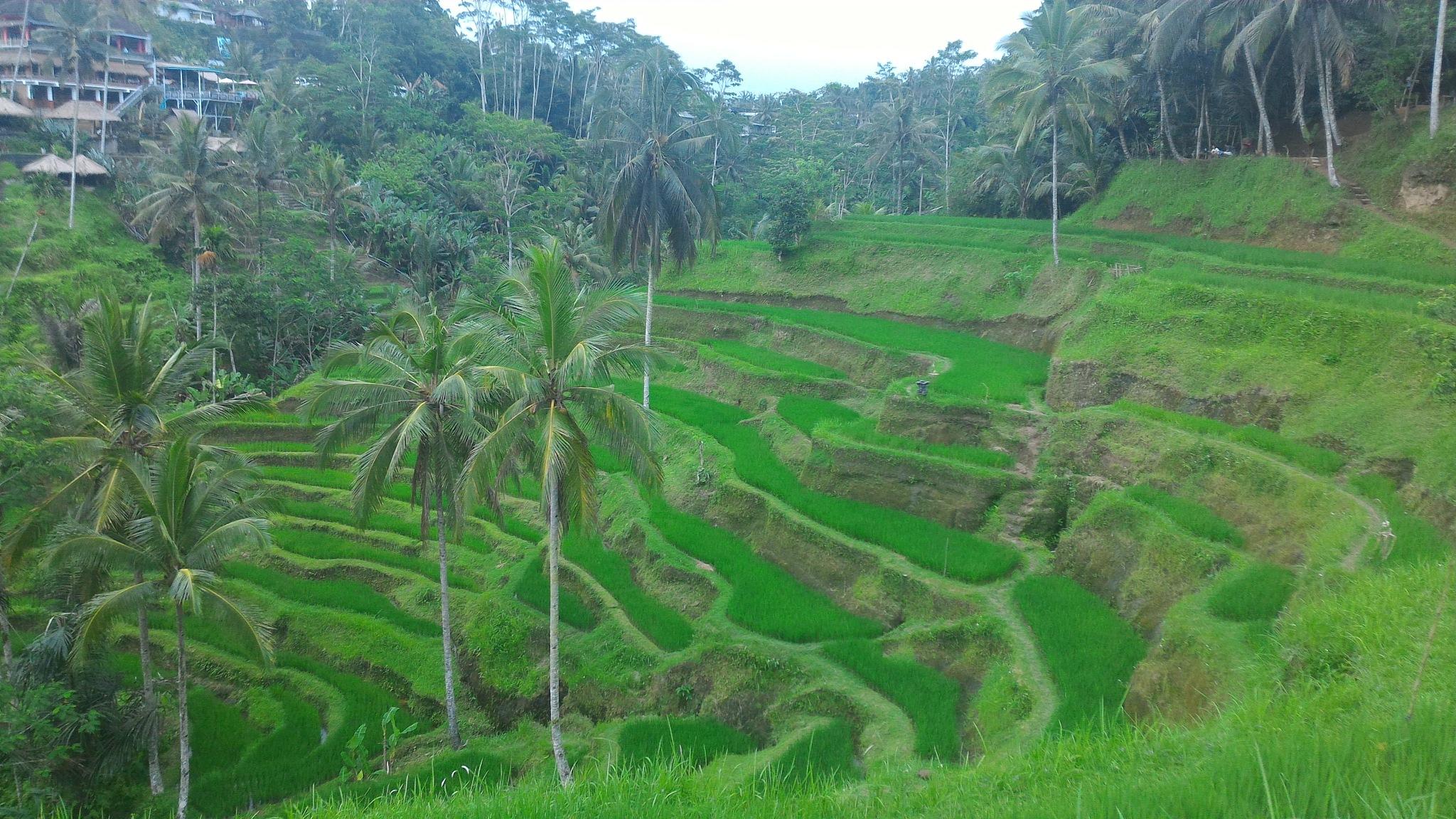 Terraced rice fields  by Putu Ermayana
