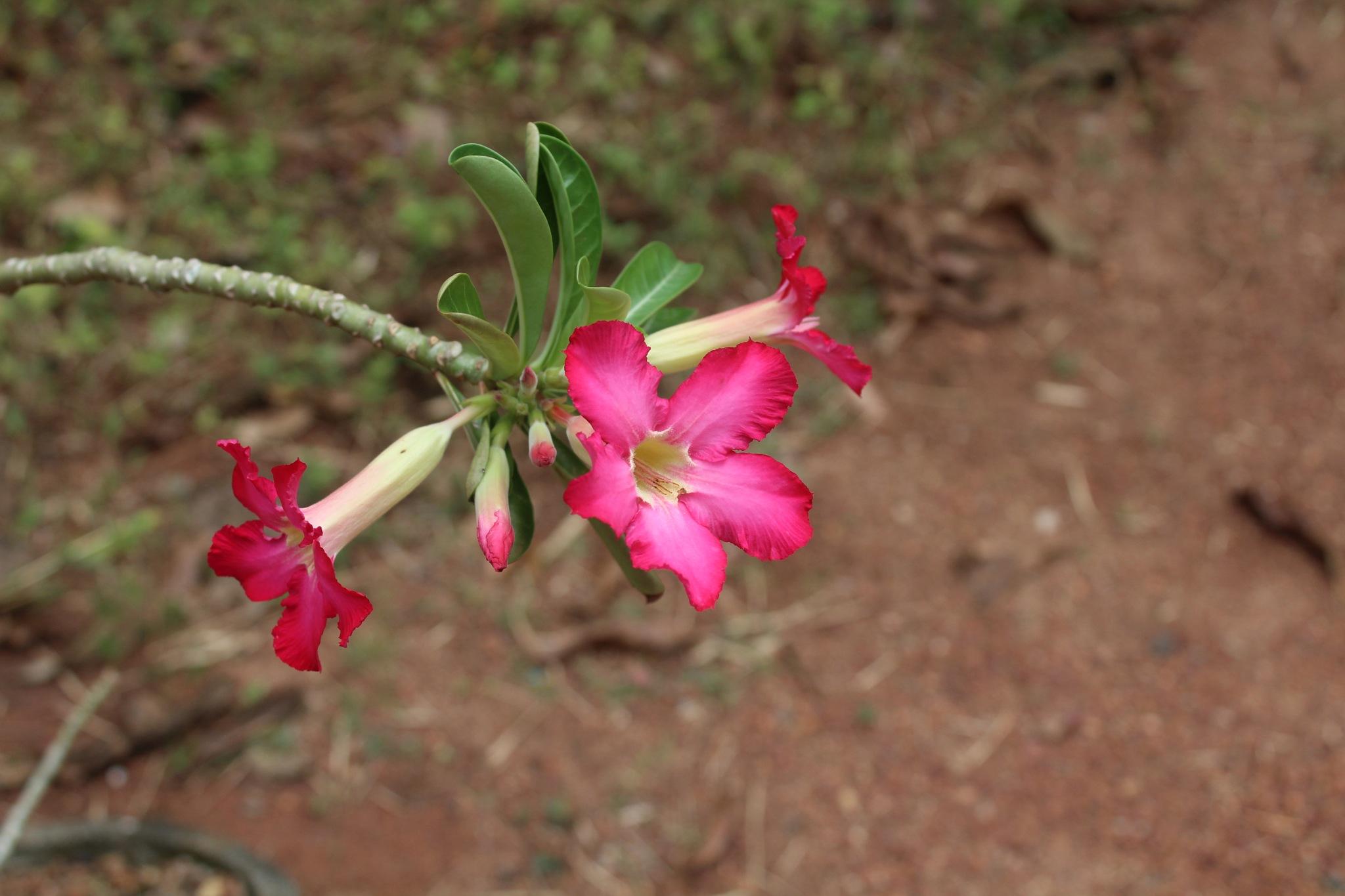 Red Flower  by Asanga