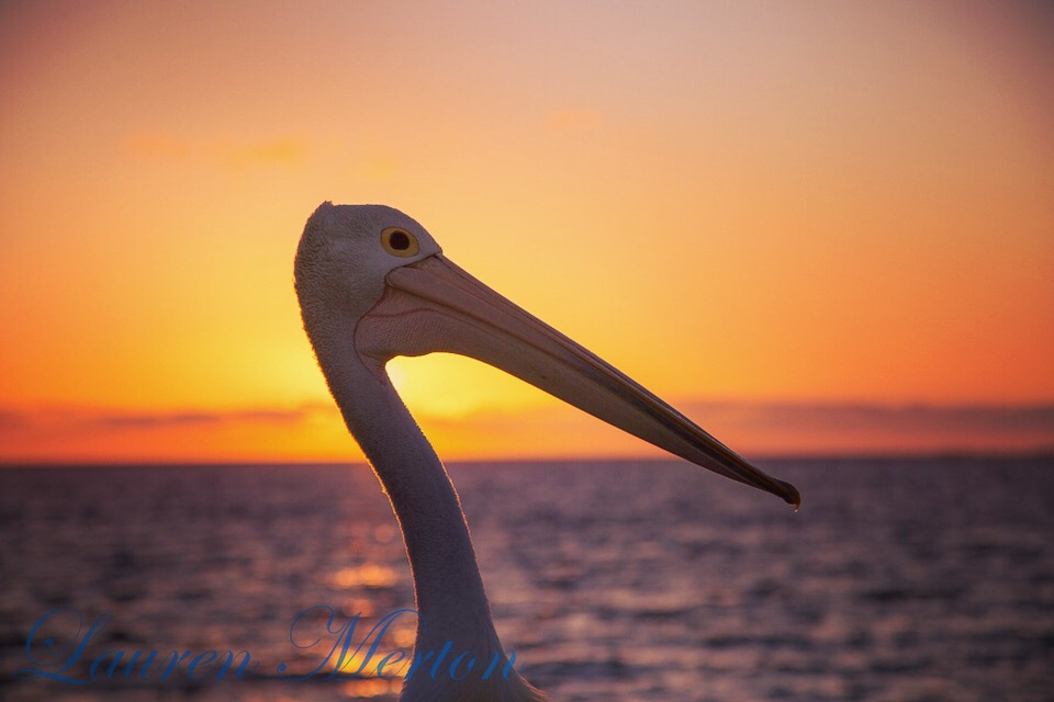 Portrait of a pelican by Laurenmerton