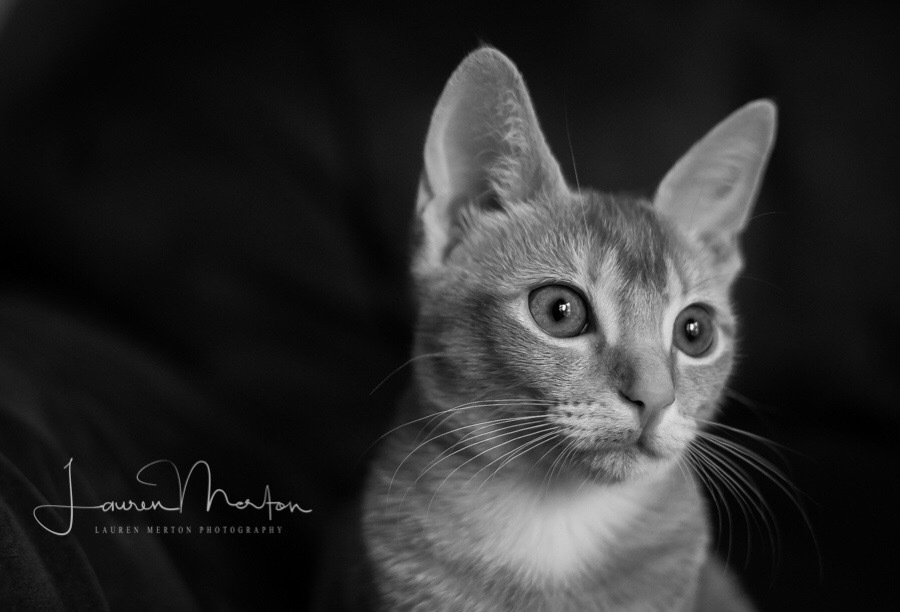 Kitty portrait  by Laurenmerton