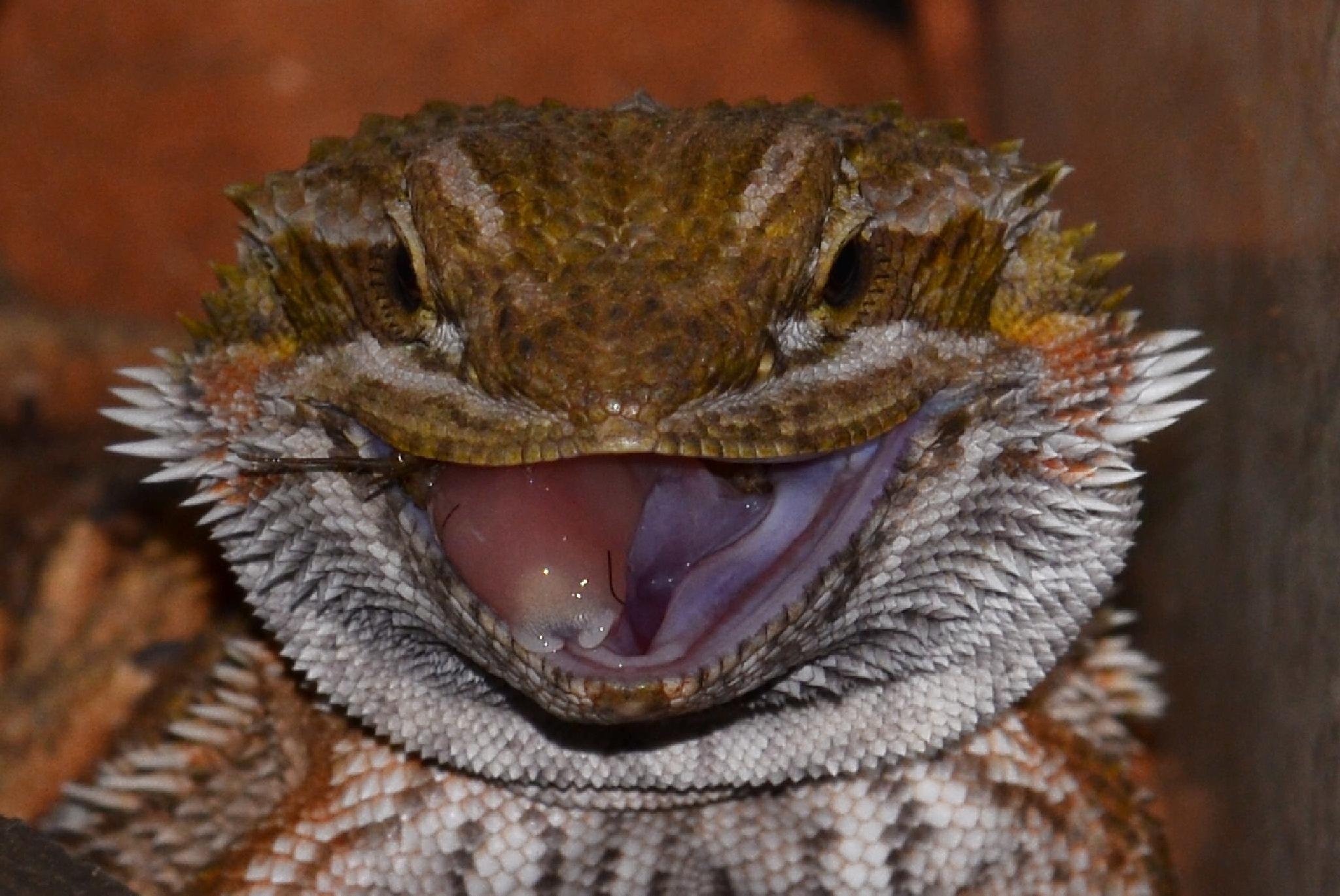 Smiling Bearded Dragon by Chertz