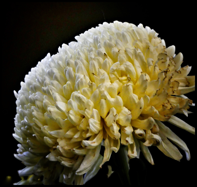 Chrysanthemums.. by JanSharp