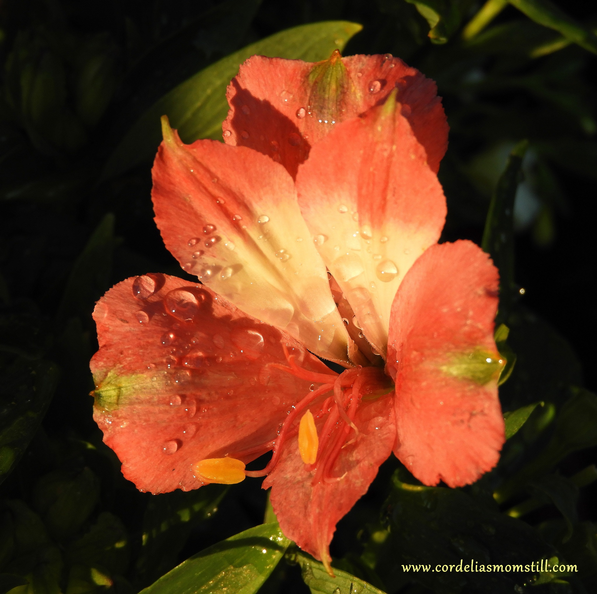 Inticancha Romance Peruvian Lily by TeddyRosalieStudio