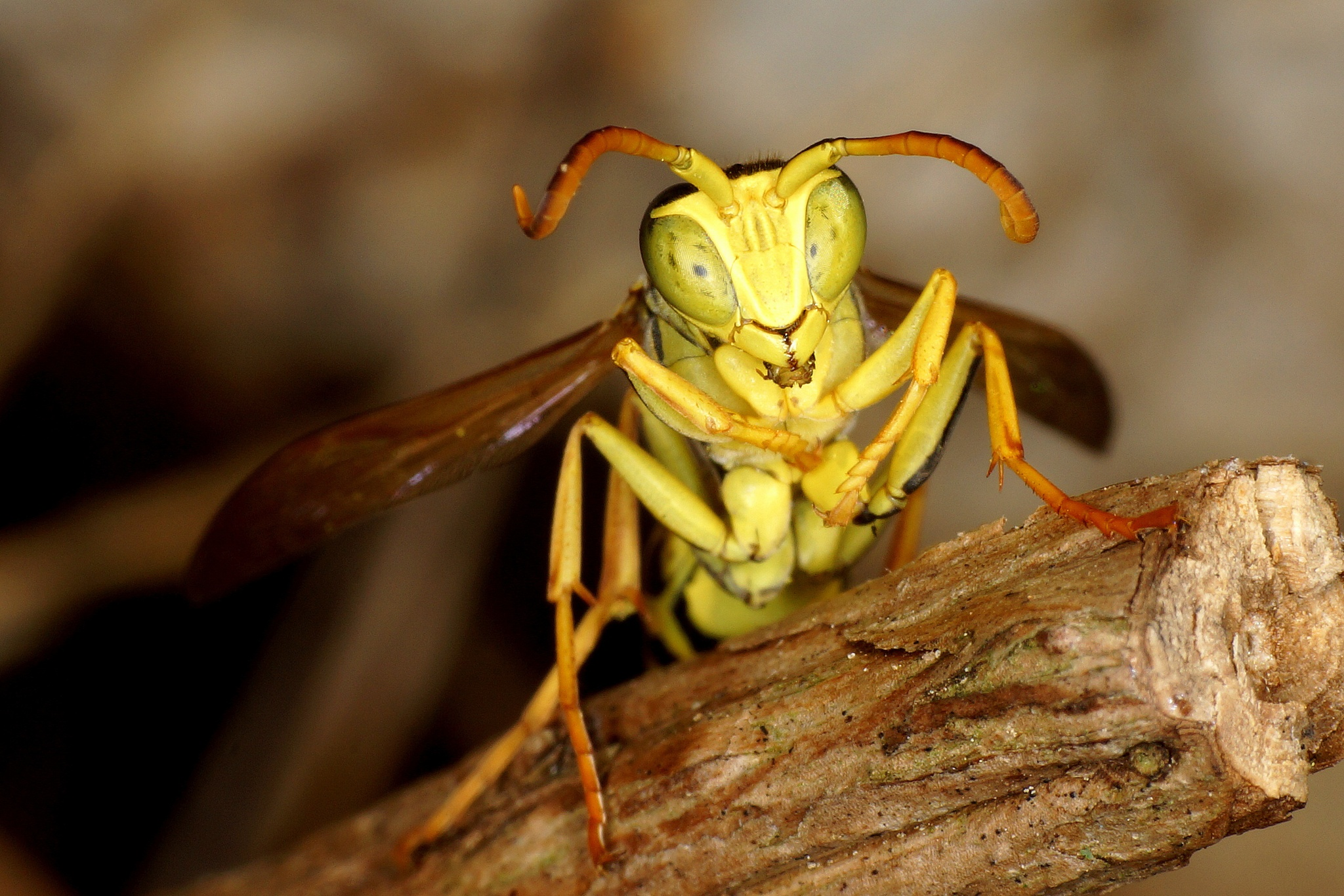 European paper wasp  by lema