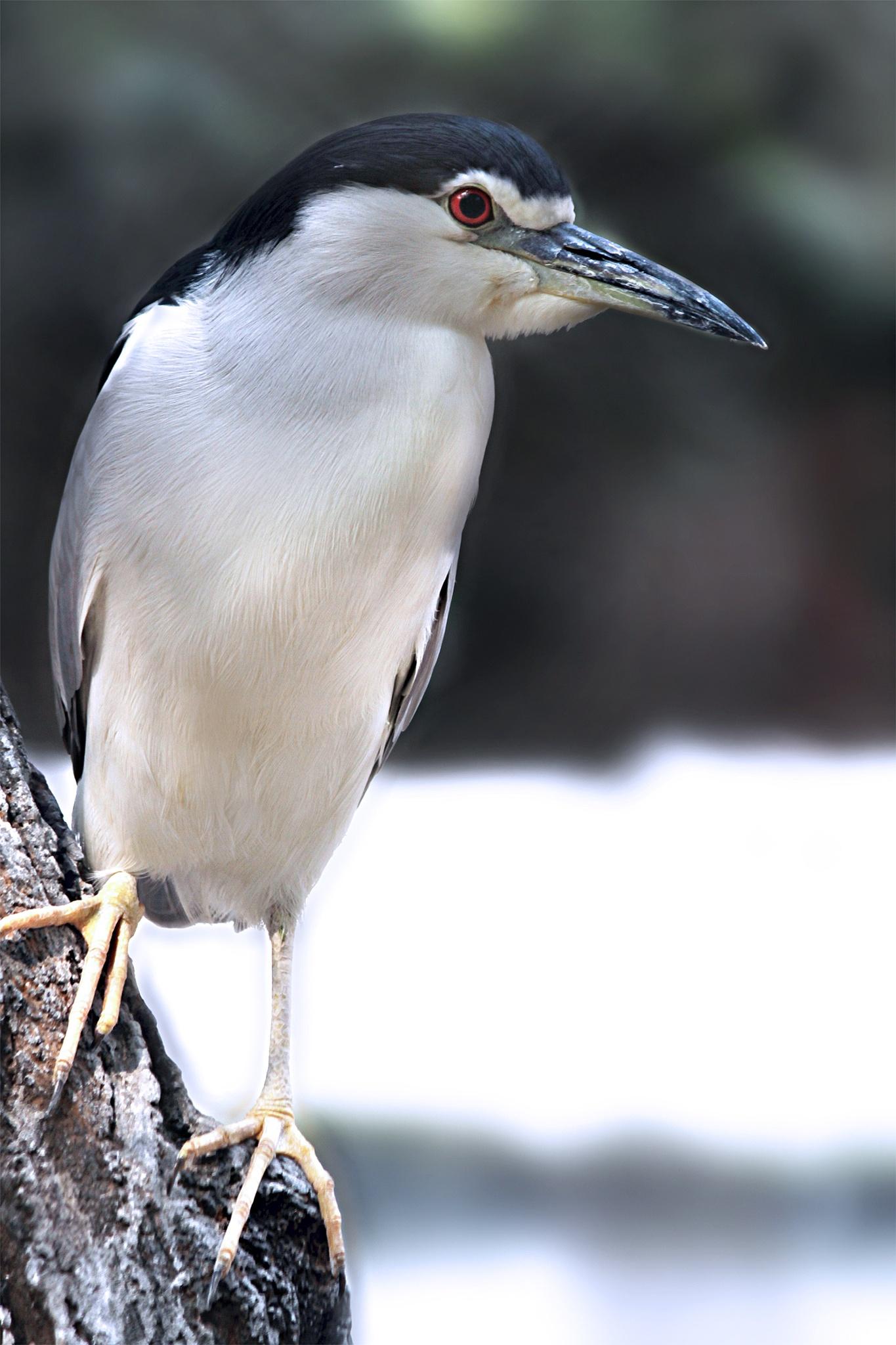 Grey Crowned Night Heron by Shashank Narsale