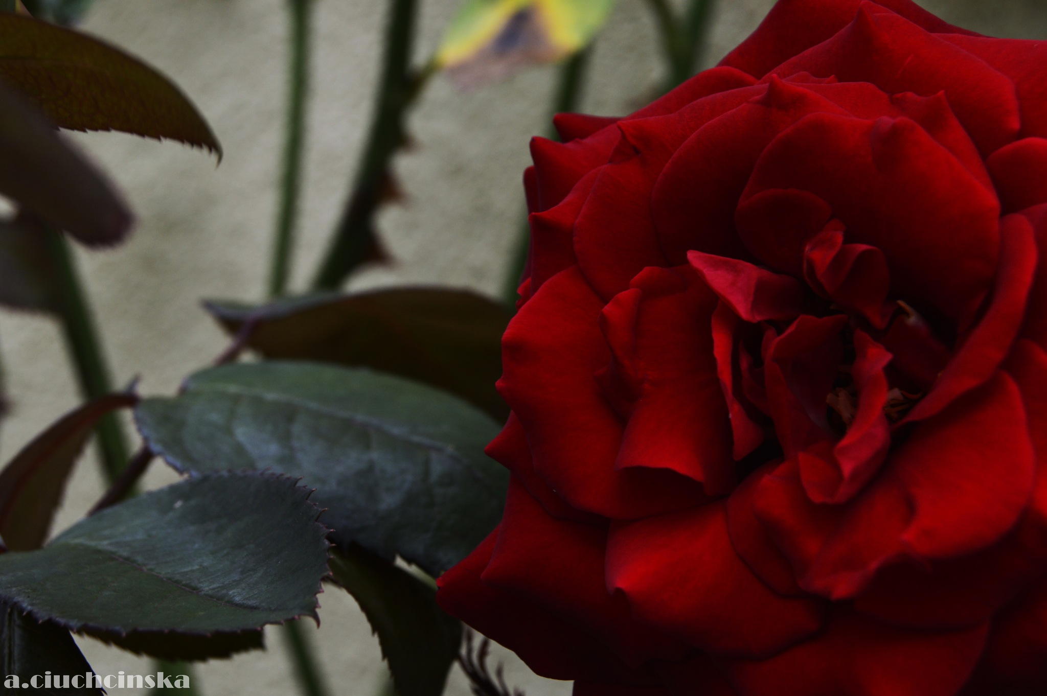 Red rose by Aleksandra Ciuchcinska