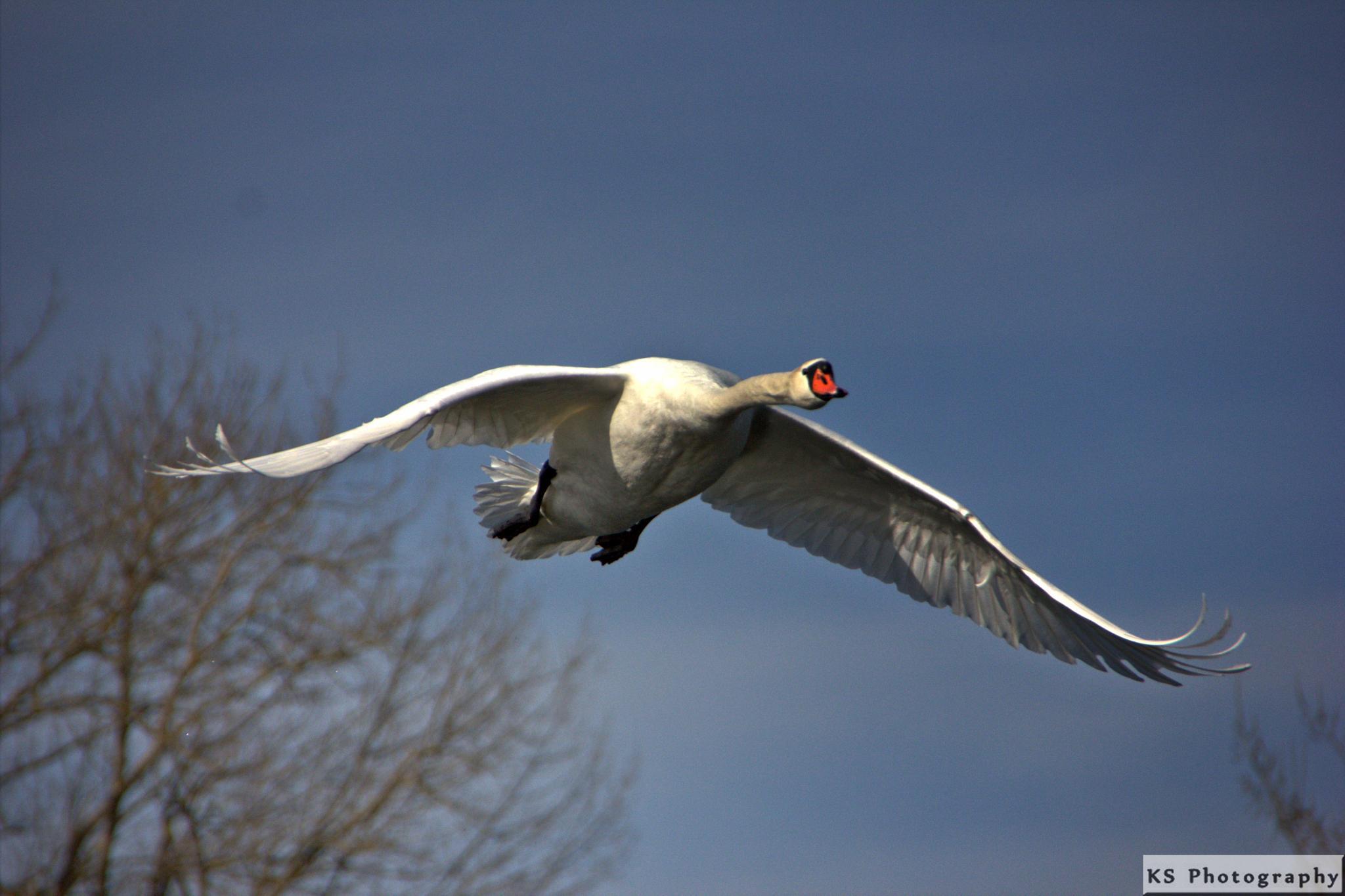 Swan by Klaus Schenker