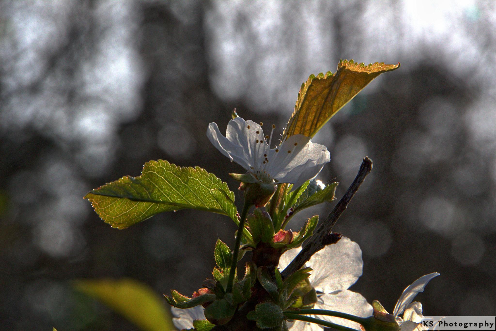 White blossom by Klaus Schenker