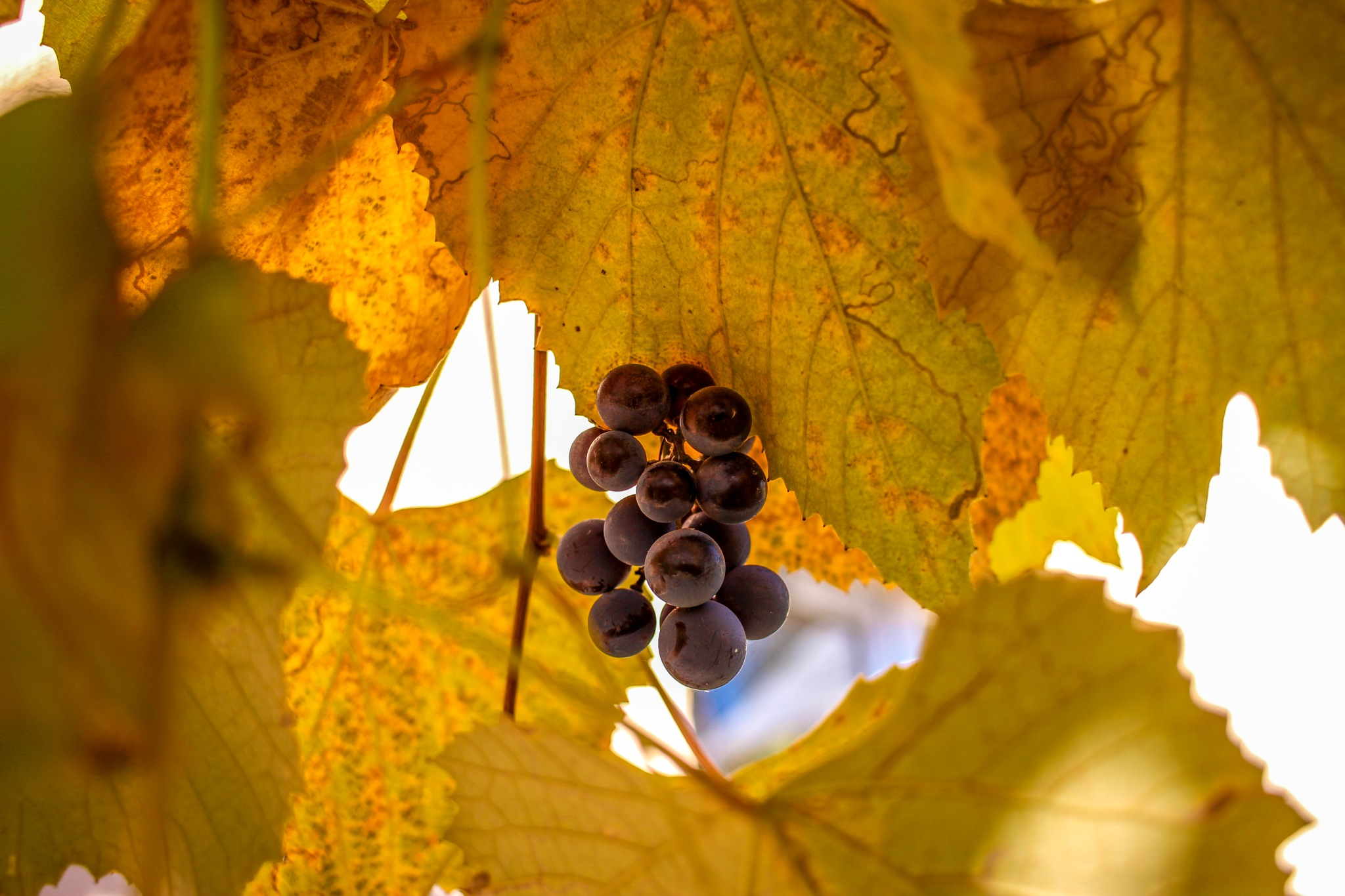 Protected grapes by Adi Red