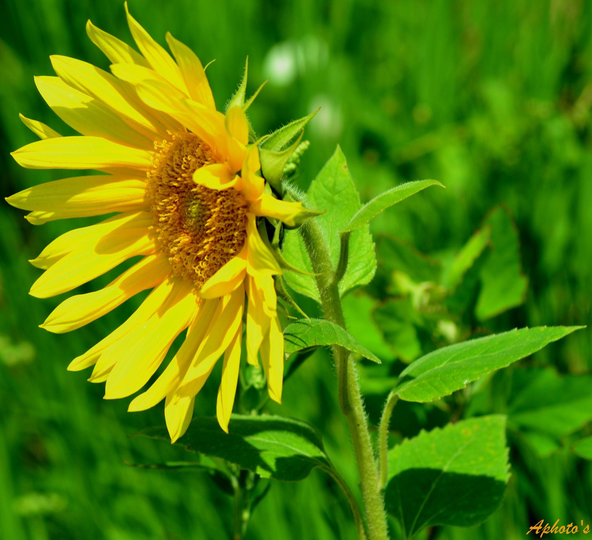 Soarelui.... by postoleaalexandru7