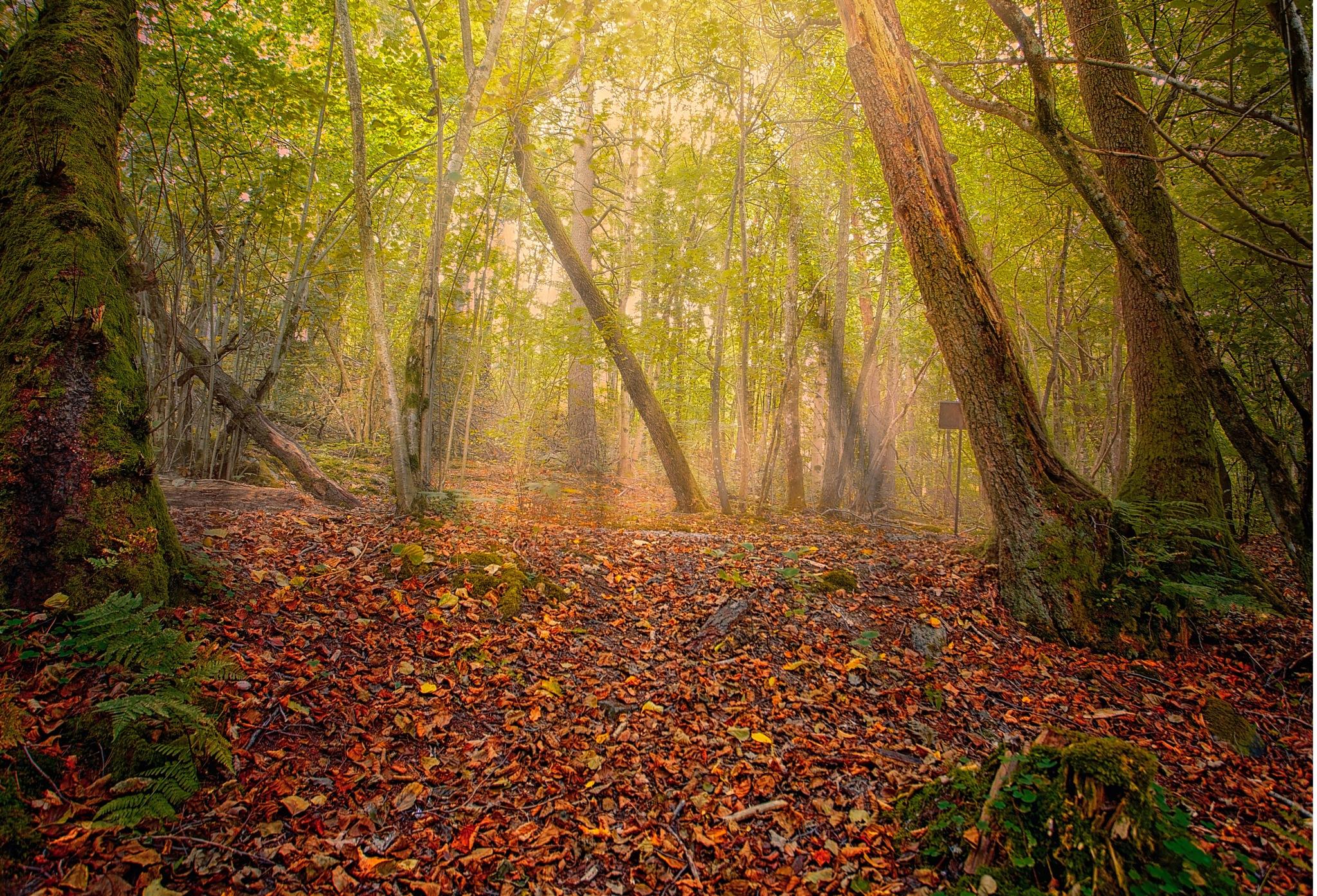Misty Forest  by Mattias Borg