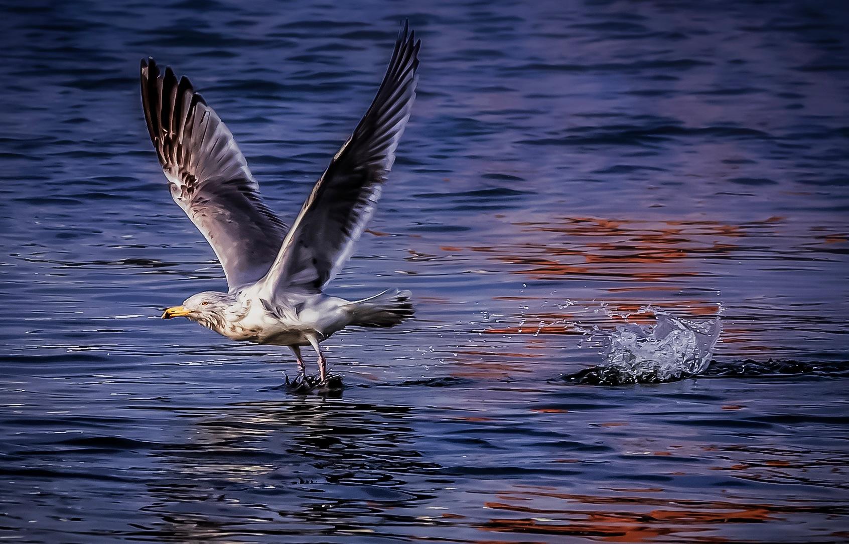 Seagull launching  by Mattias Borg
