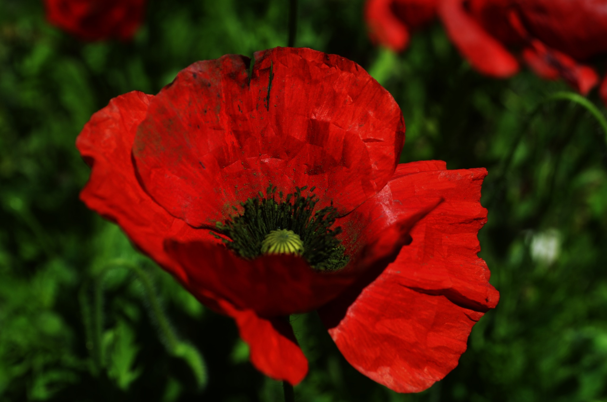 Coquelicot ROUGE by 'Serbouti Said