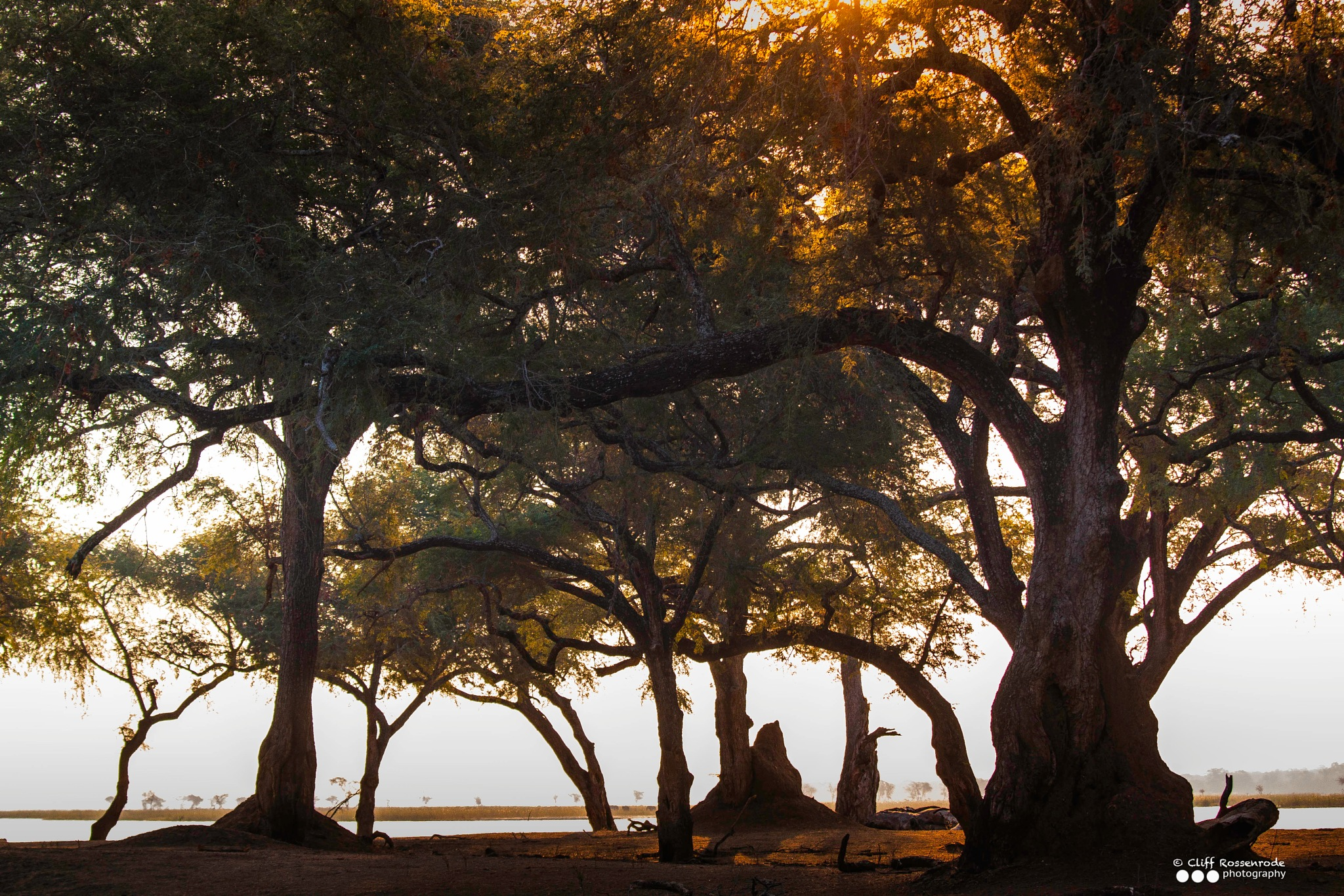 Tree silhouettes02  by Cliff Rossenrode