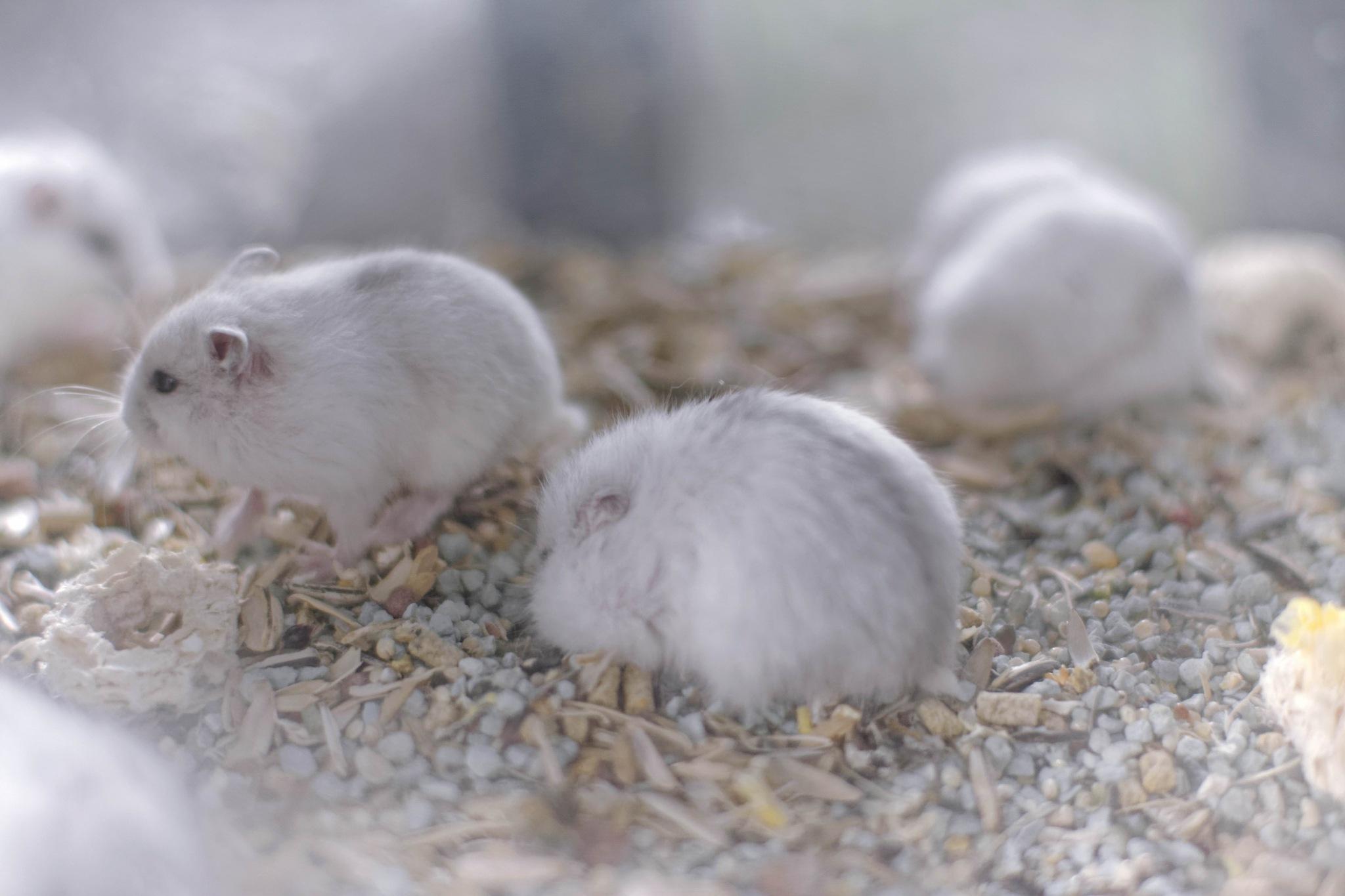 Cute tiny hamster by Budi Selamat