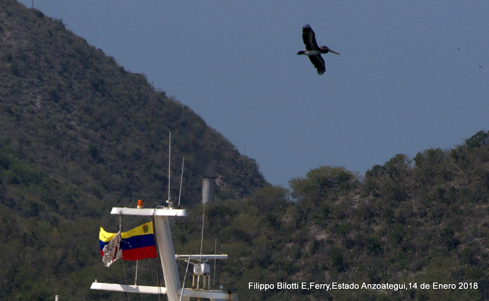 El pelicano Venezolano! by FilippoBilottiE