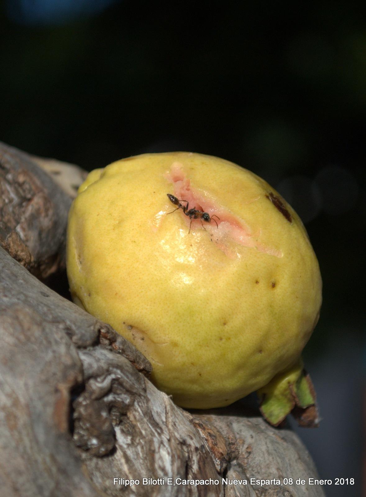 La guayaba y la hormiga. by FilippoBilottiE
