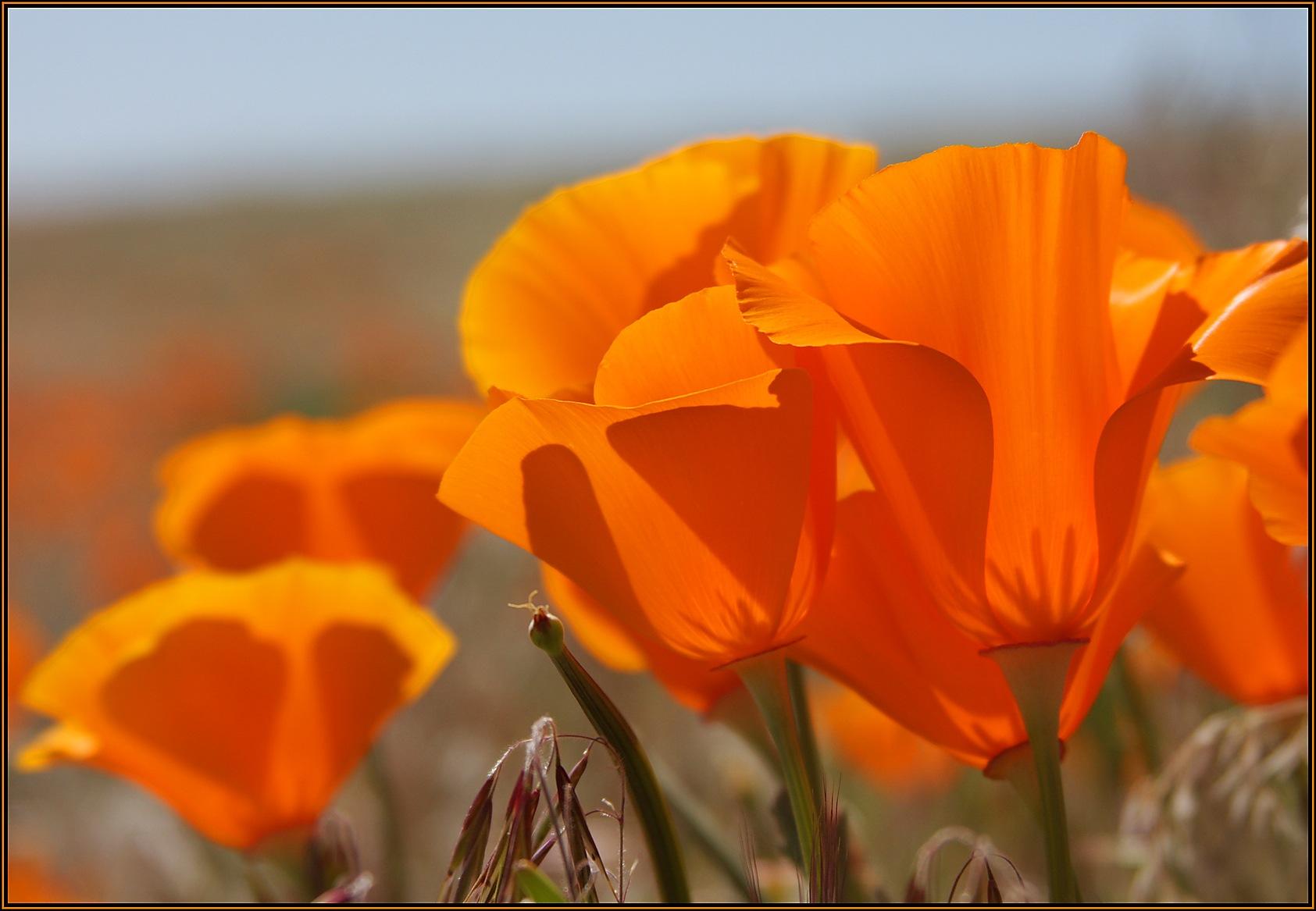 California Poppy by sciguylvms