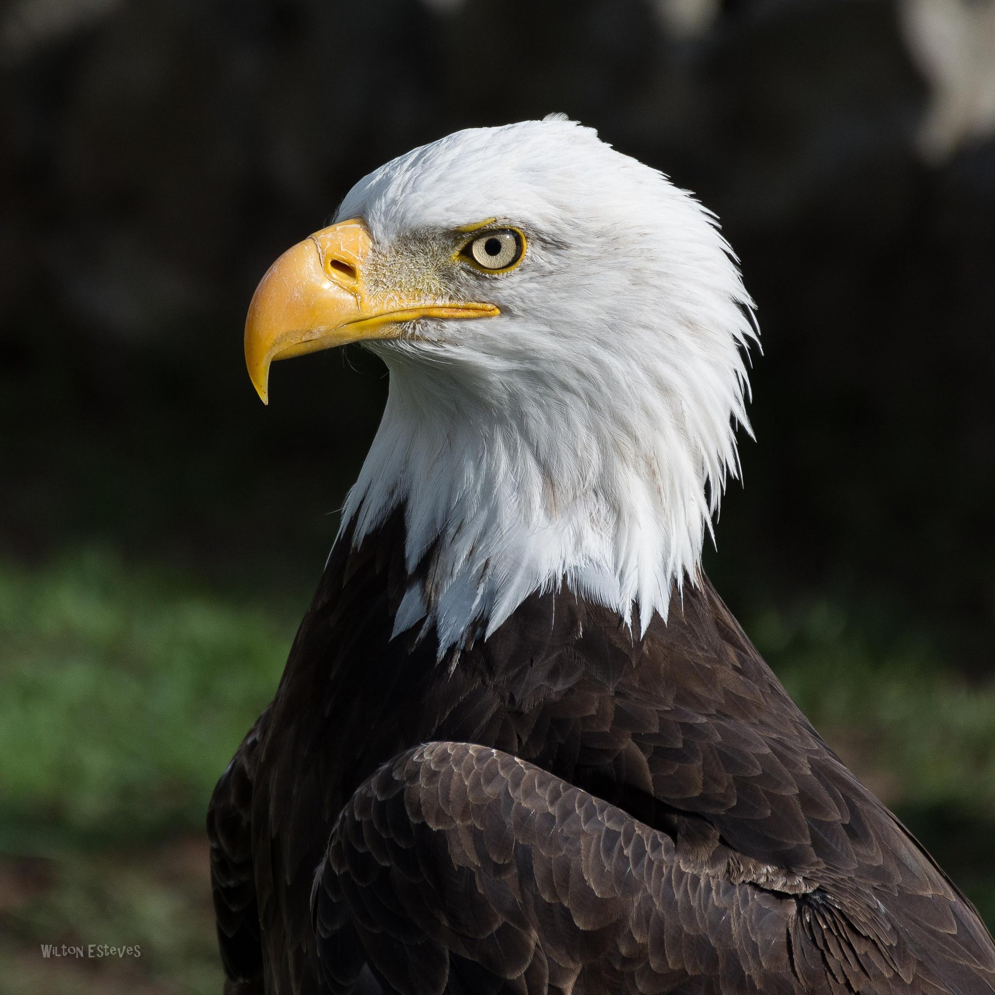 American Eagle by Wilton Esteves
