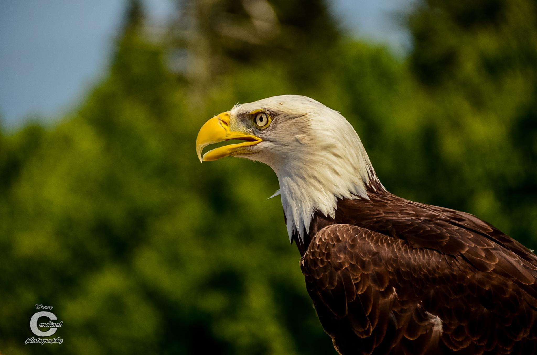 Bald Eagle by denycardinal