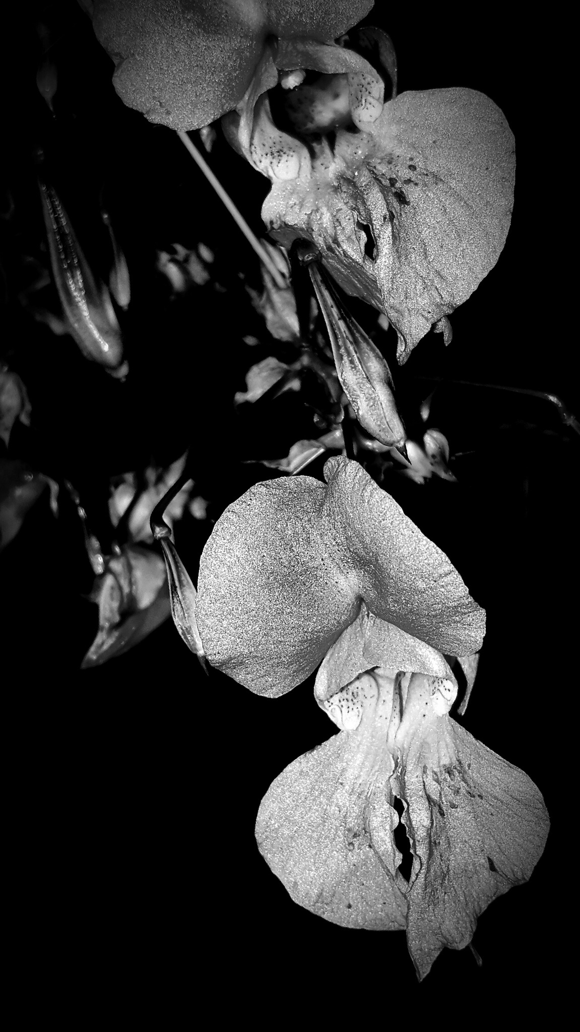 Snap dragon  by Rawphotographer
