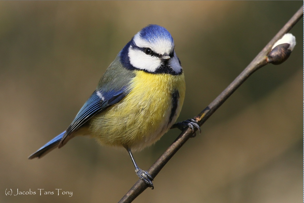 Blue Tit by TonyJacobsTans