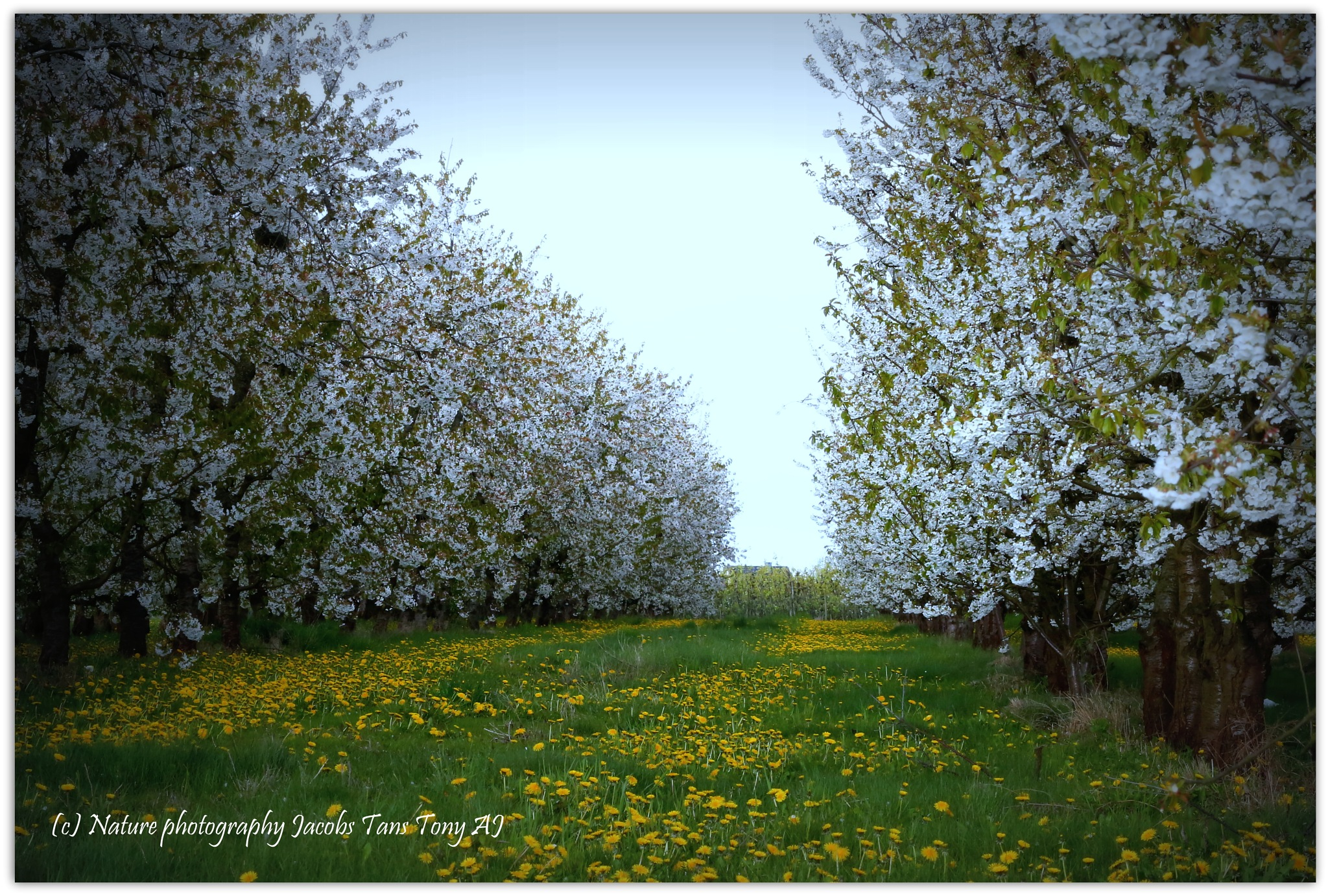 Cherry plantation in Fize le Marsal by TonyJacobsTans
