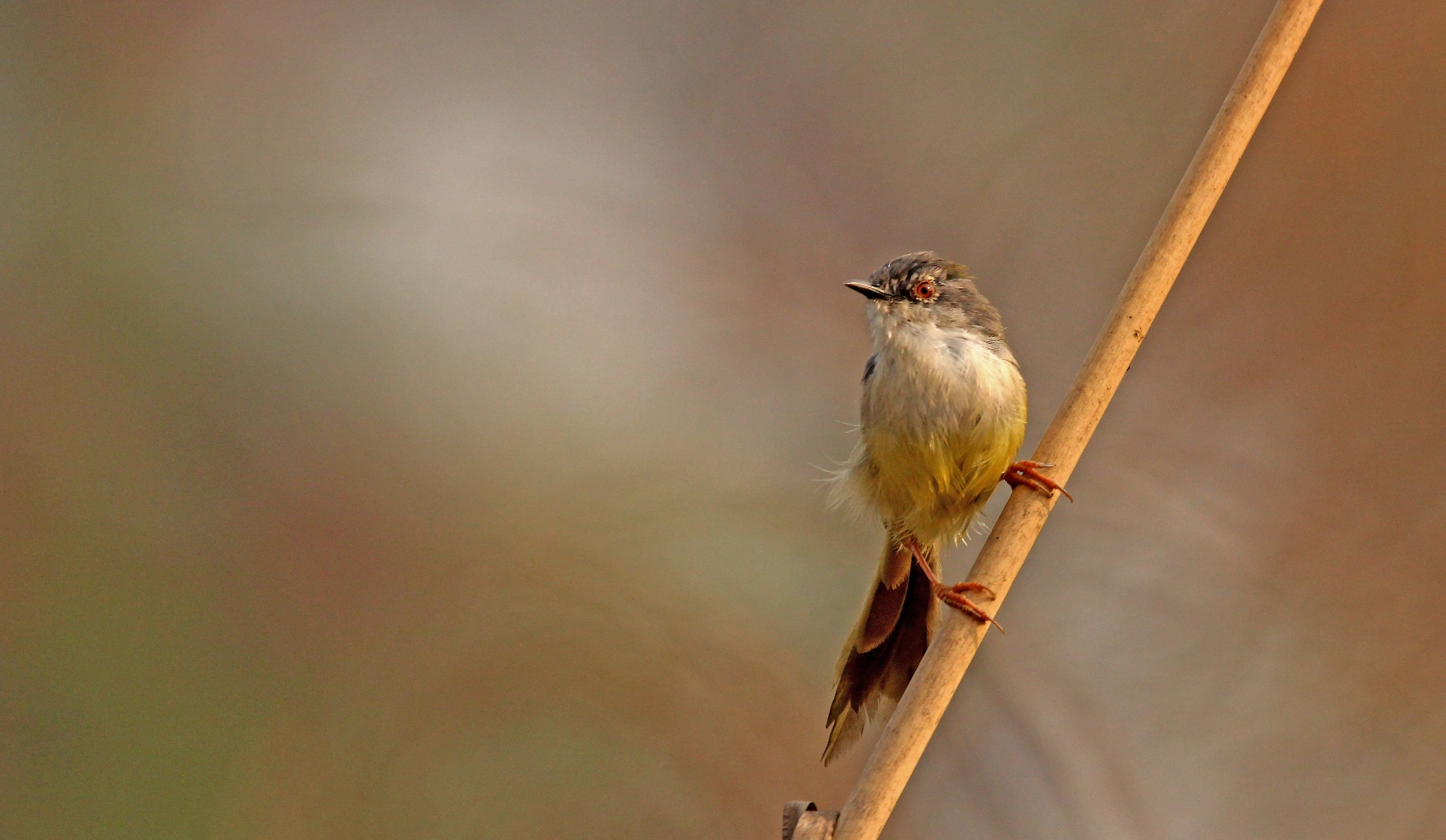 Yellow bellied prinia by Kaukab