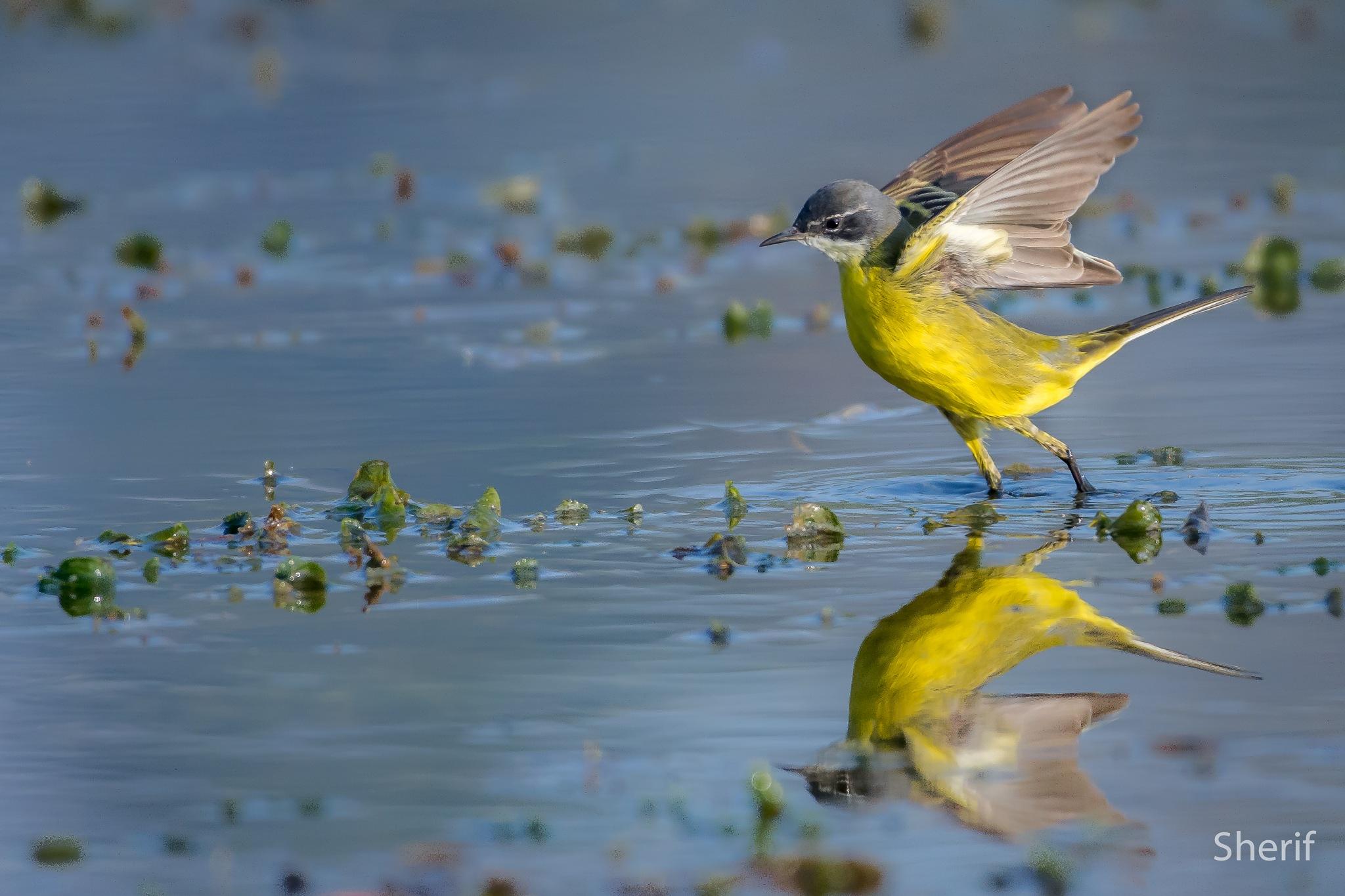 Western yellow wagtail  by Sherif_Mahdy