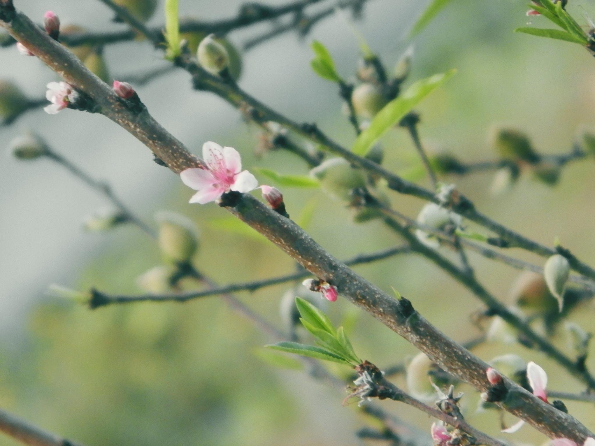 Peach tree flower by Iosef_William
