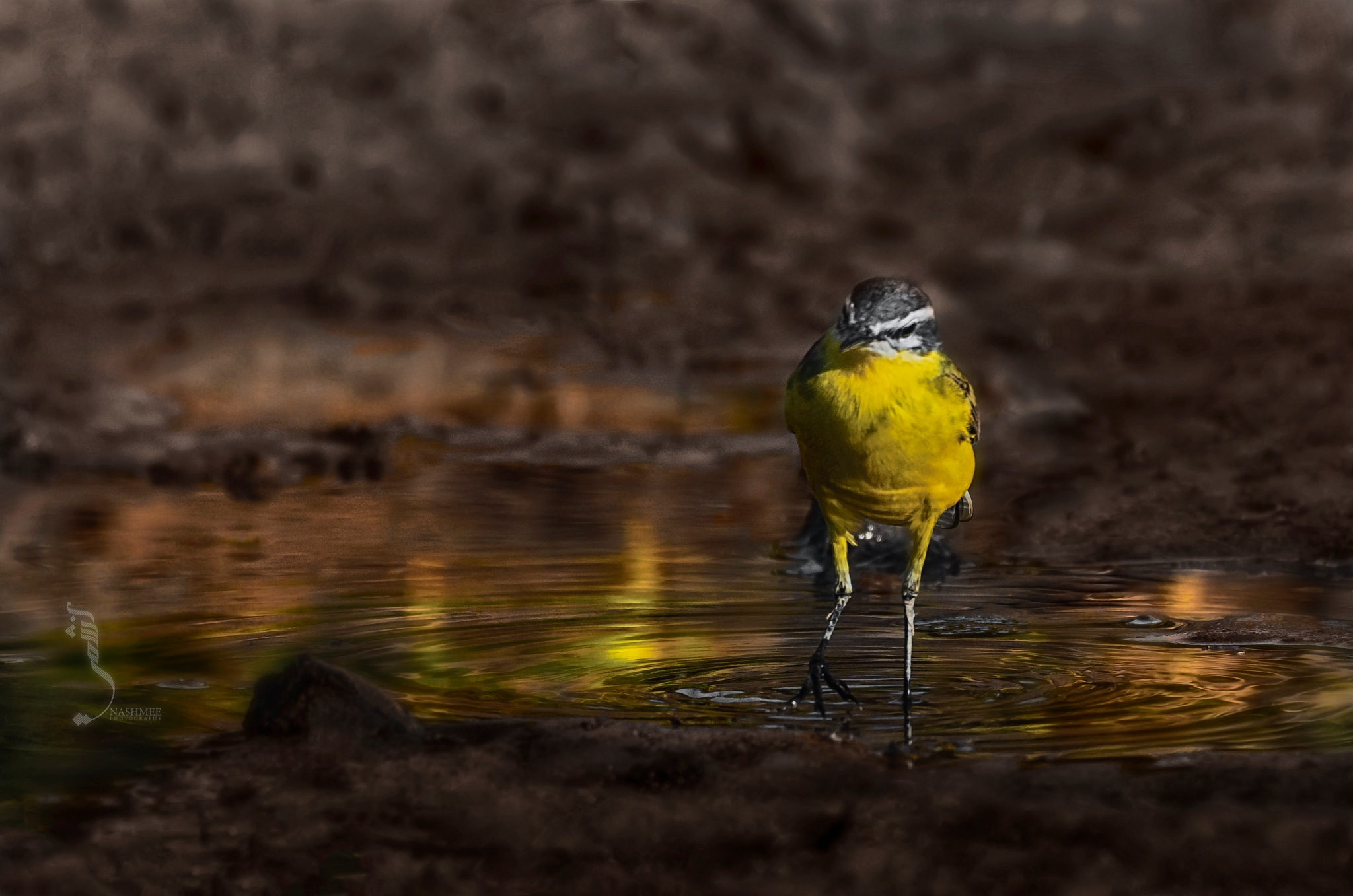 Yellow common wagtail  by Ali
