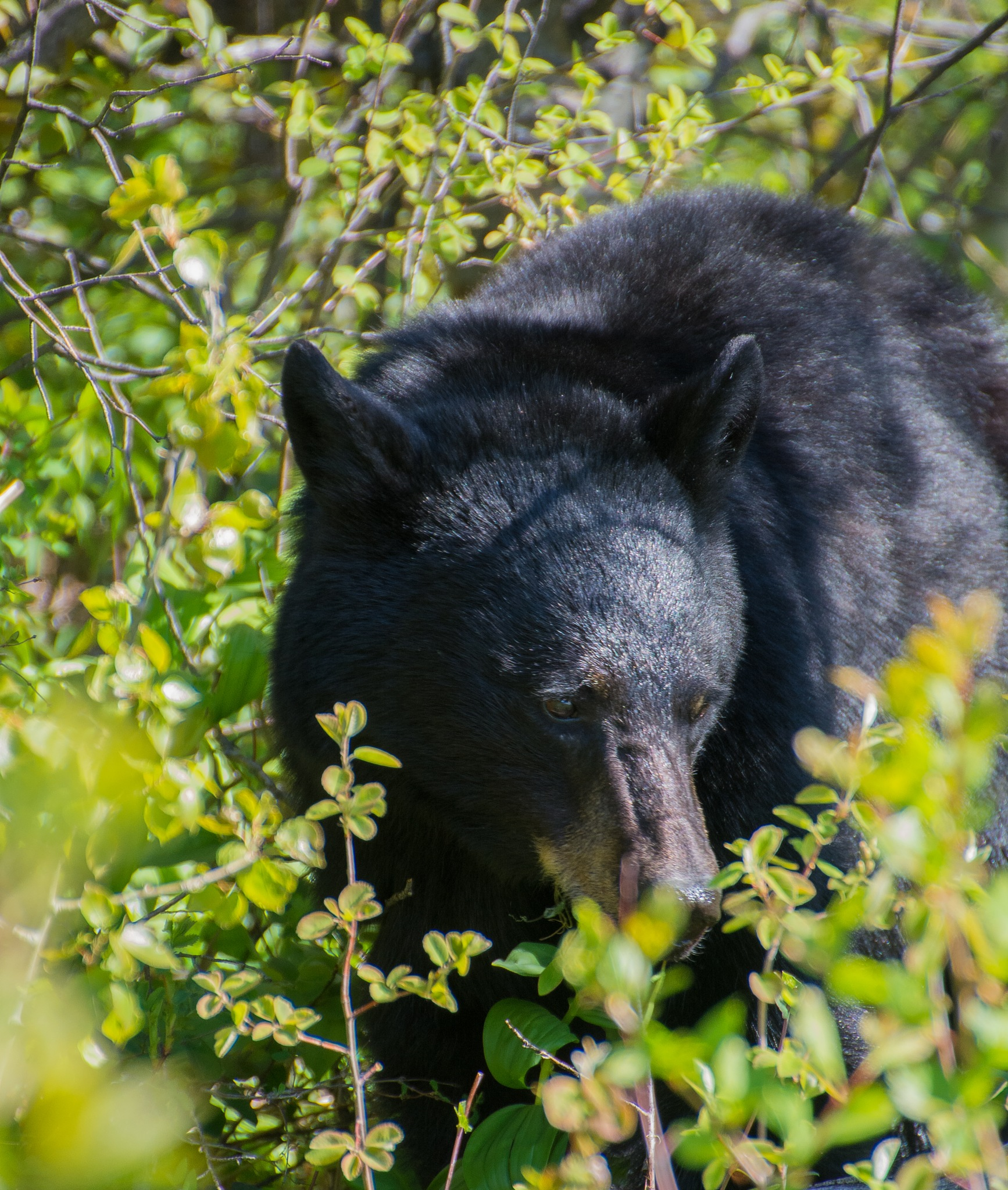 Black bear 3 by SteveRedmond
