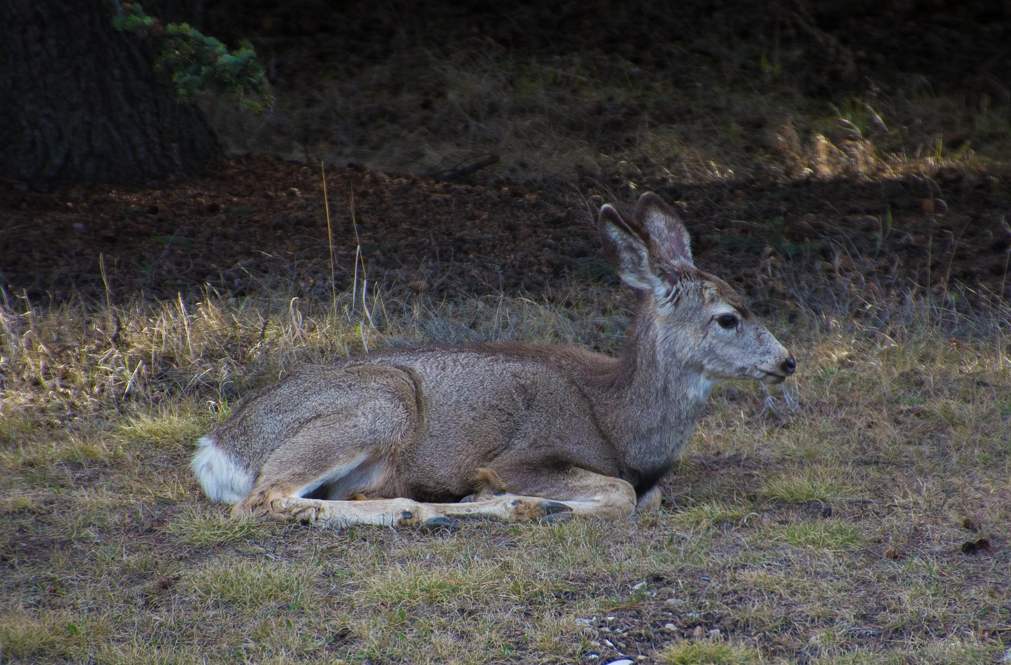 Resting deer by SteveRedmond