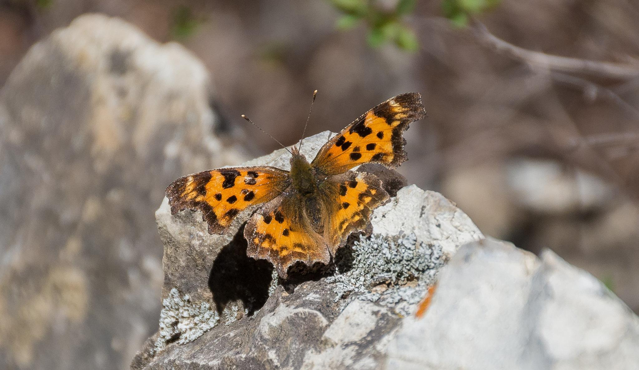 Butterfly 1 by SteveRedmond