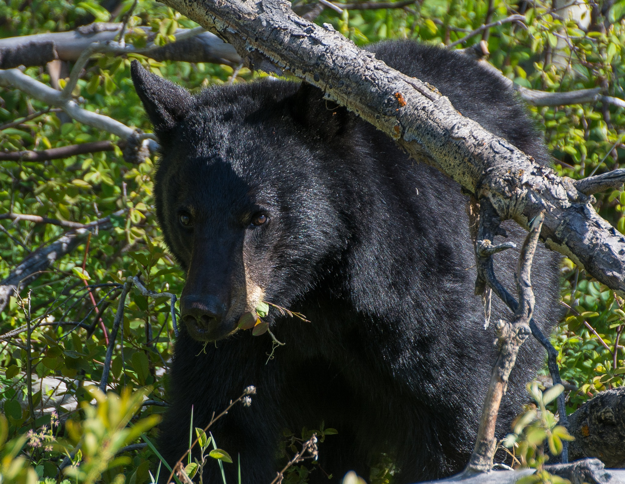 Black bear 1 by SteveRedmond