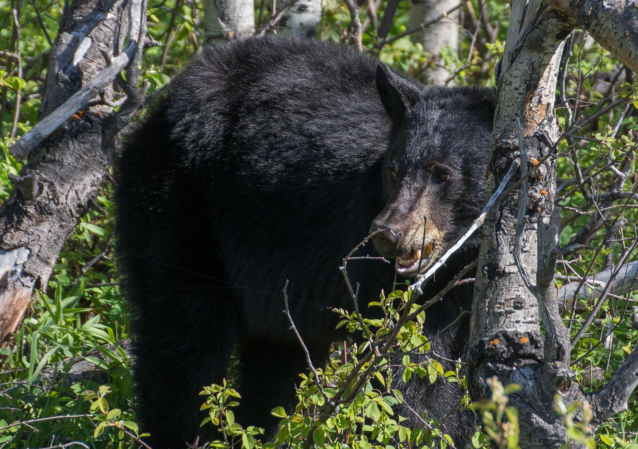 Black bear  2 by SteveRedmond