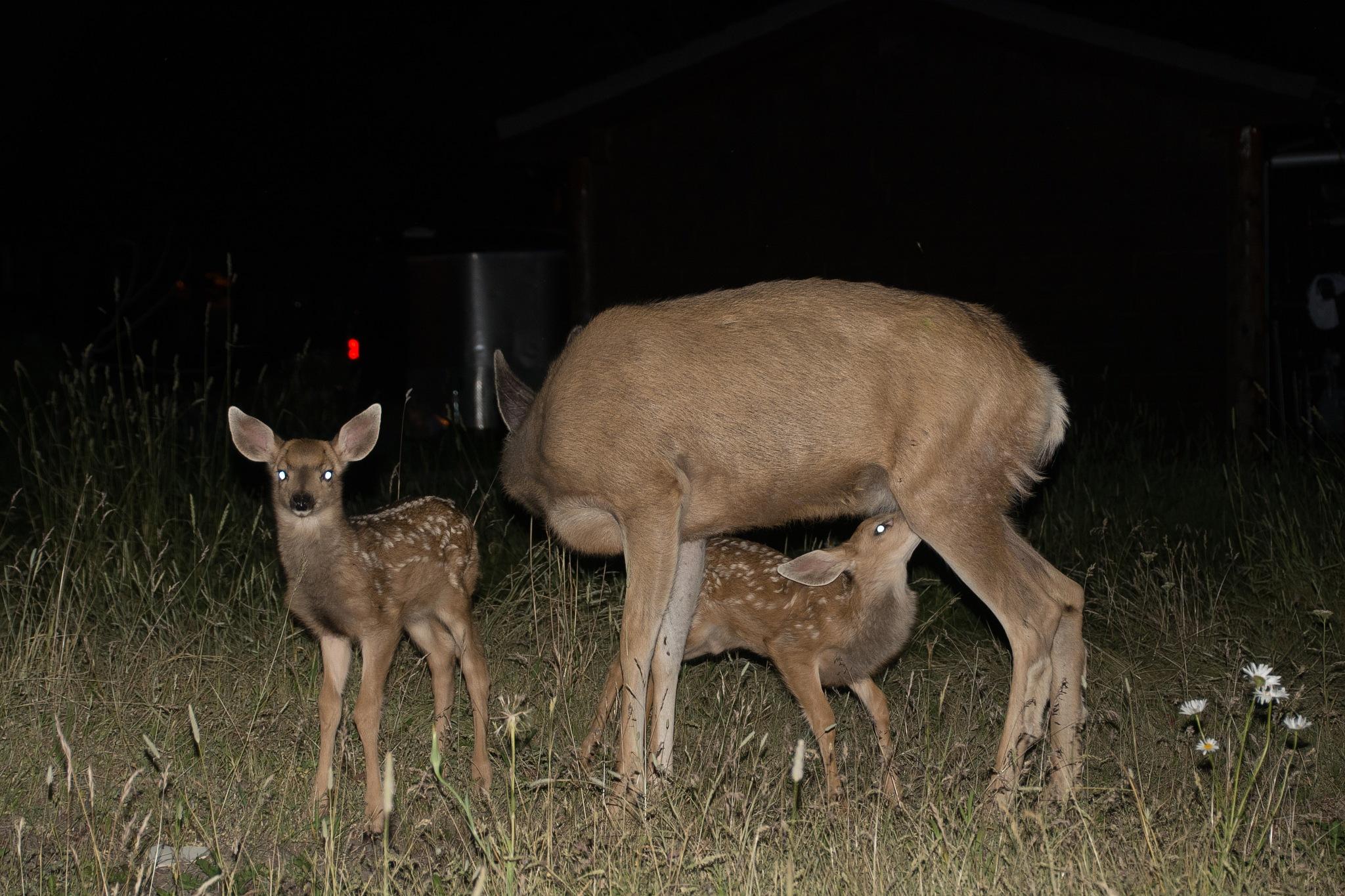 Mother deer and 2 babys by SteveRedmond