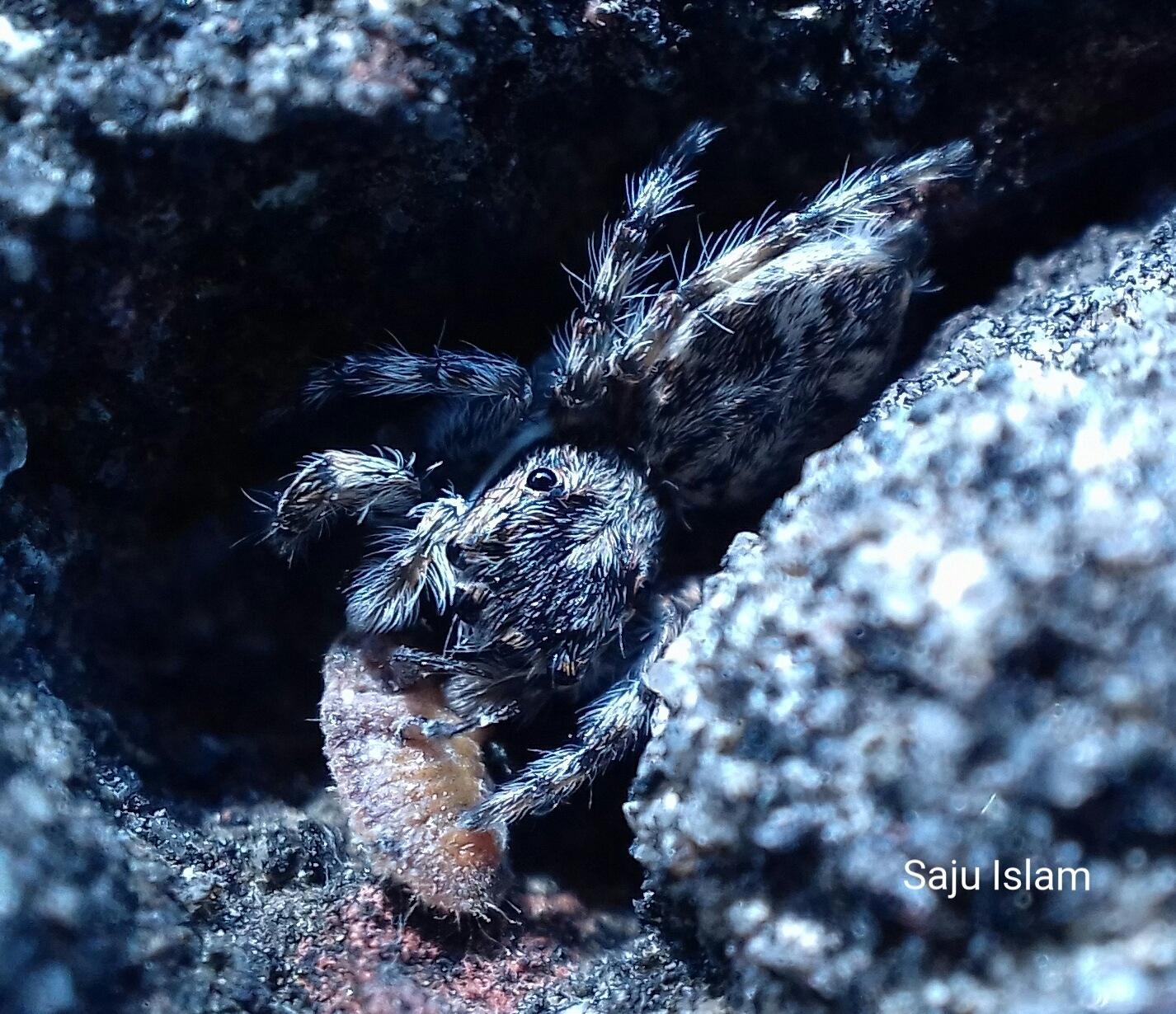 Jumping Spider Macro  by MD Sajjad Saju Islam