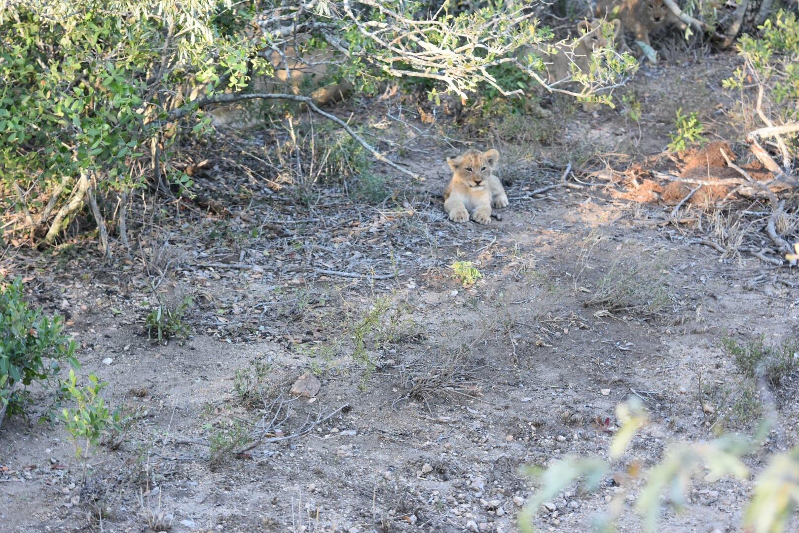 Lion Cub by Patrick Rulo