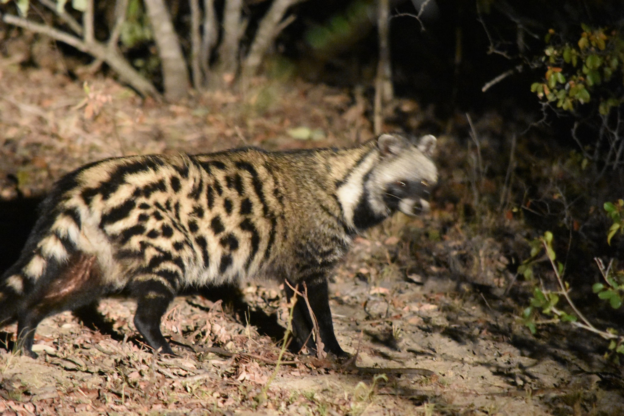Civet  by Patrick Rulo