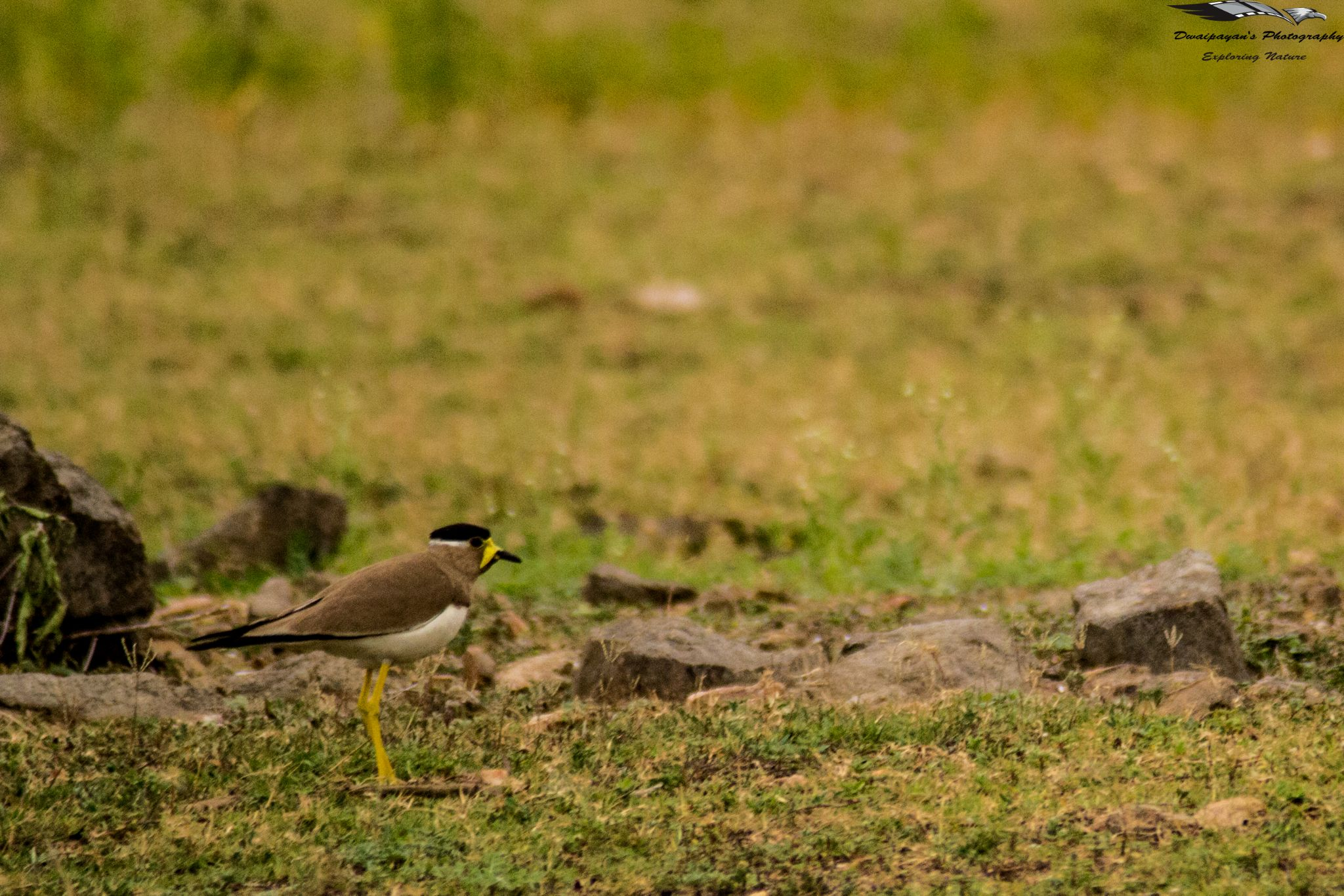 Yellow Wattled Lapwing by Dwaipayan Ghosh