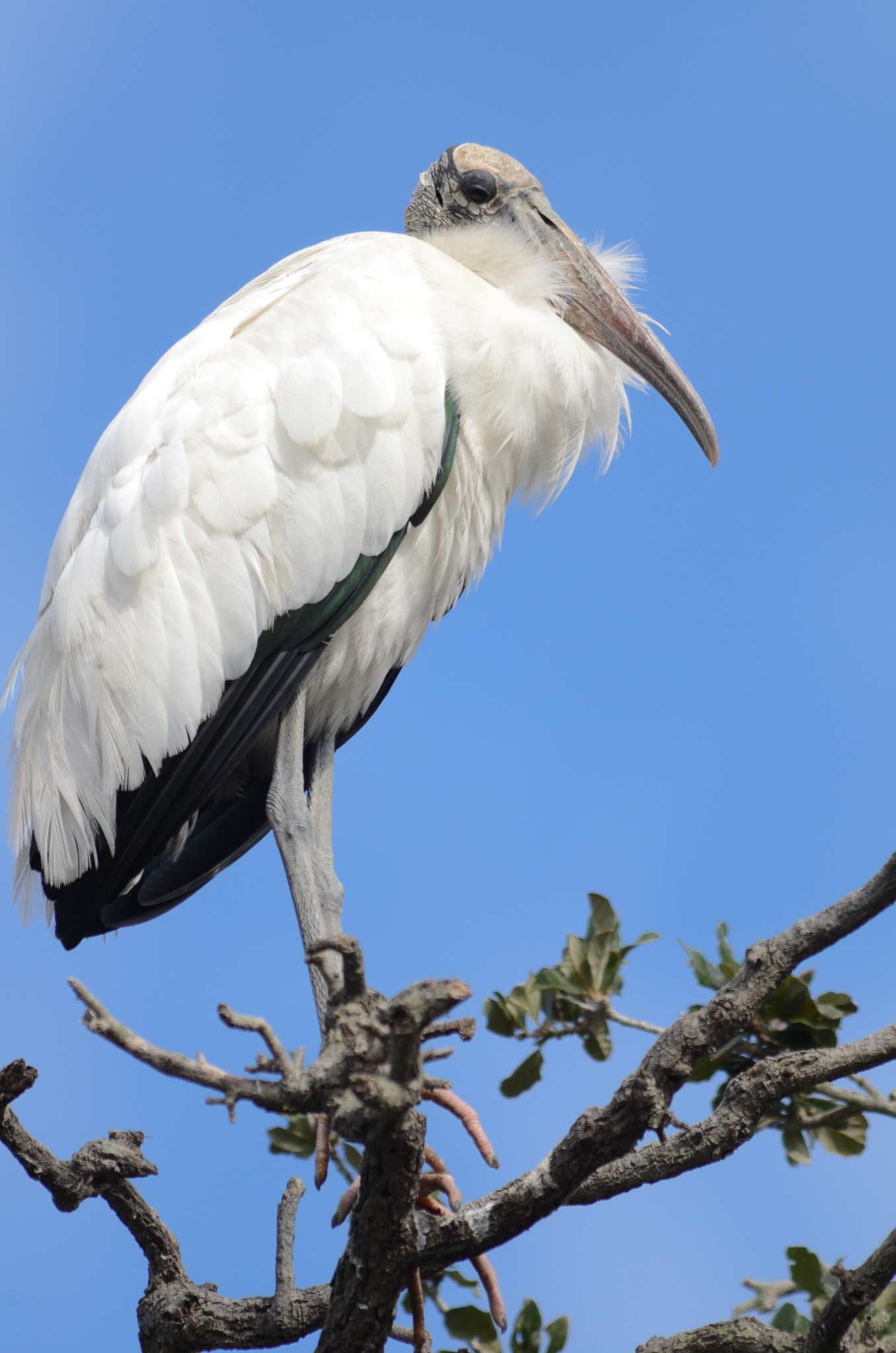 Wood Stork by Ryle Irwin