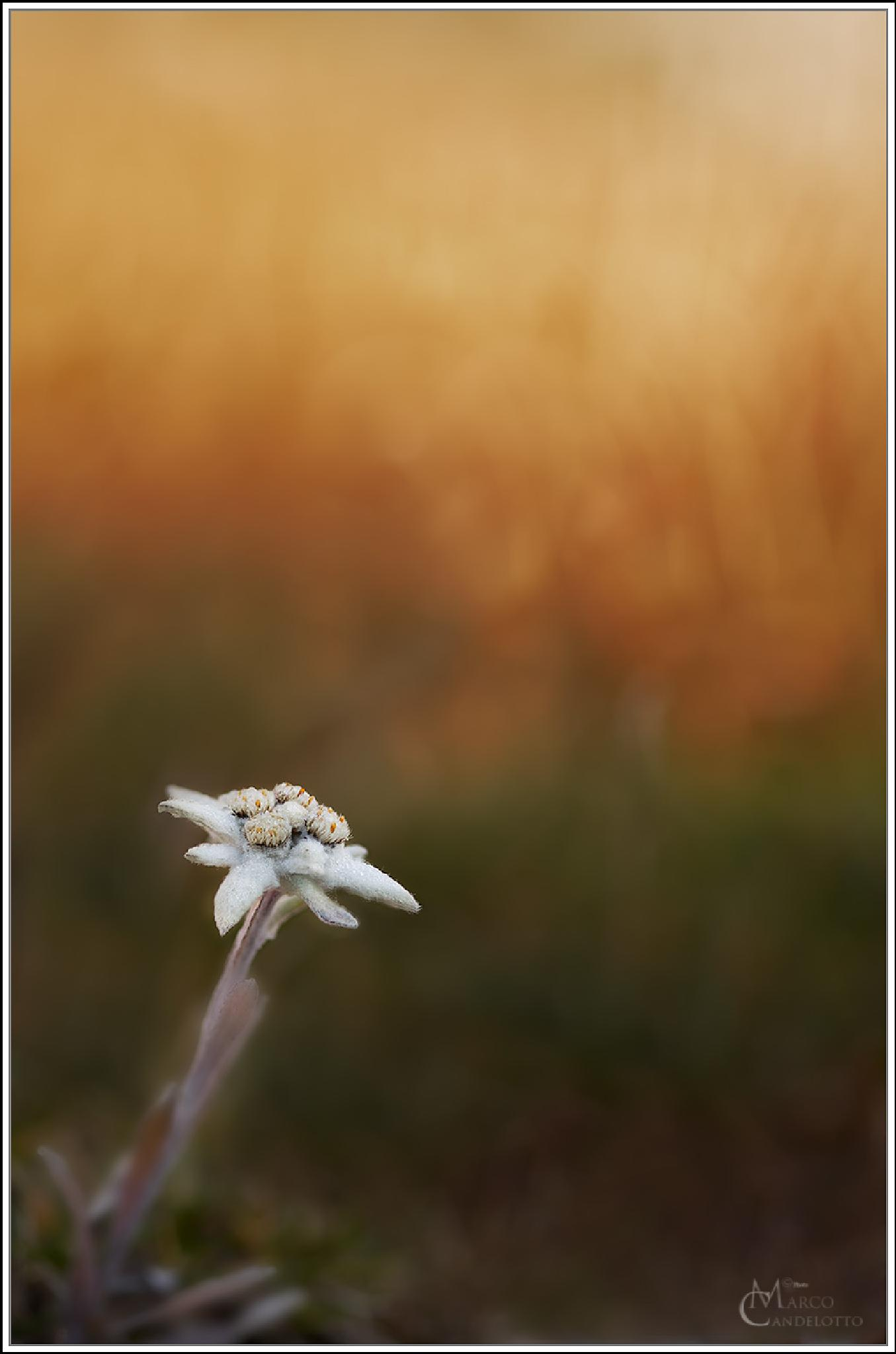 "Leontopodium alpinum ""Edelweiss"" by Marco Candelotto"