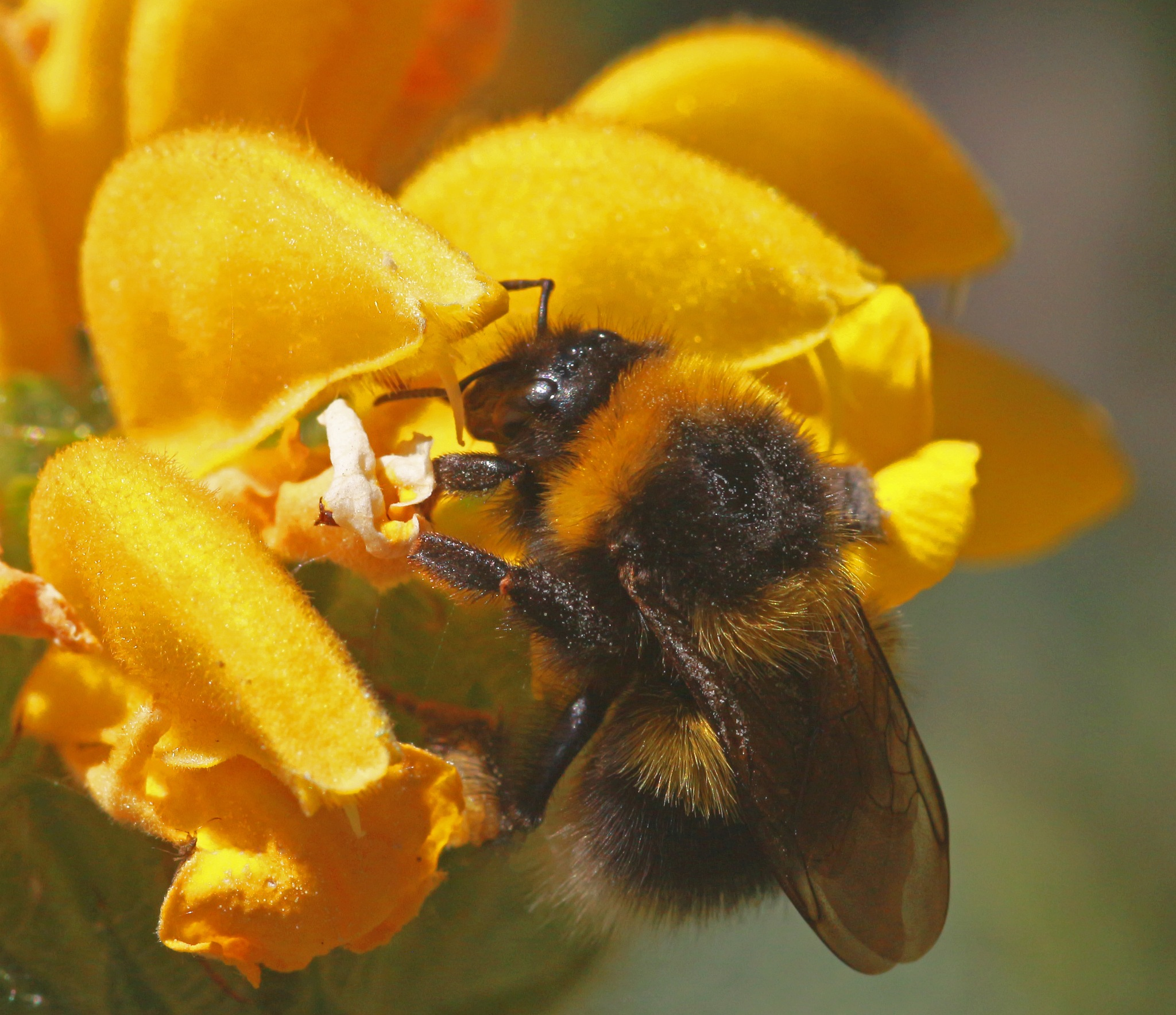 Bumble Bee. by TommyThain