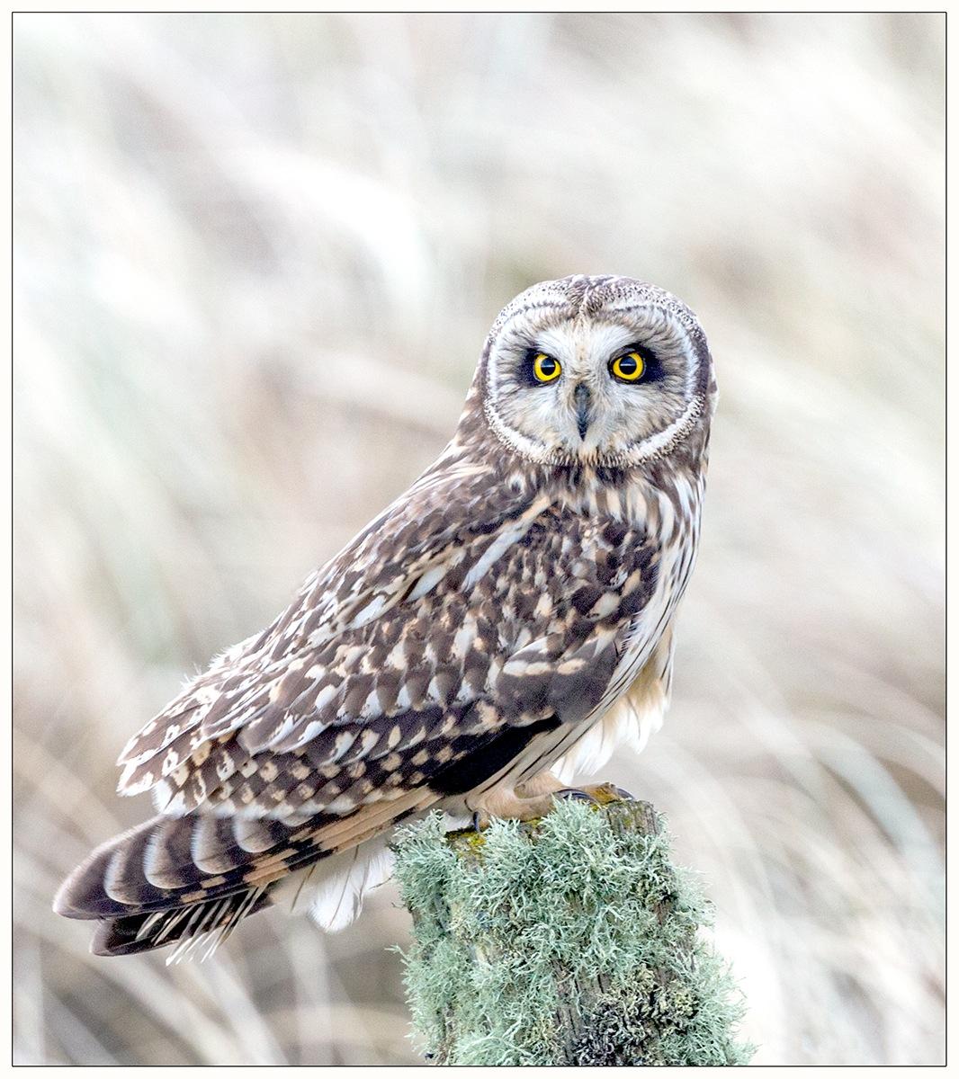Photo in Random #wild #bird #owl #short eared owl #beautiful #eyes #nature