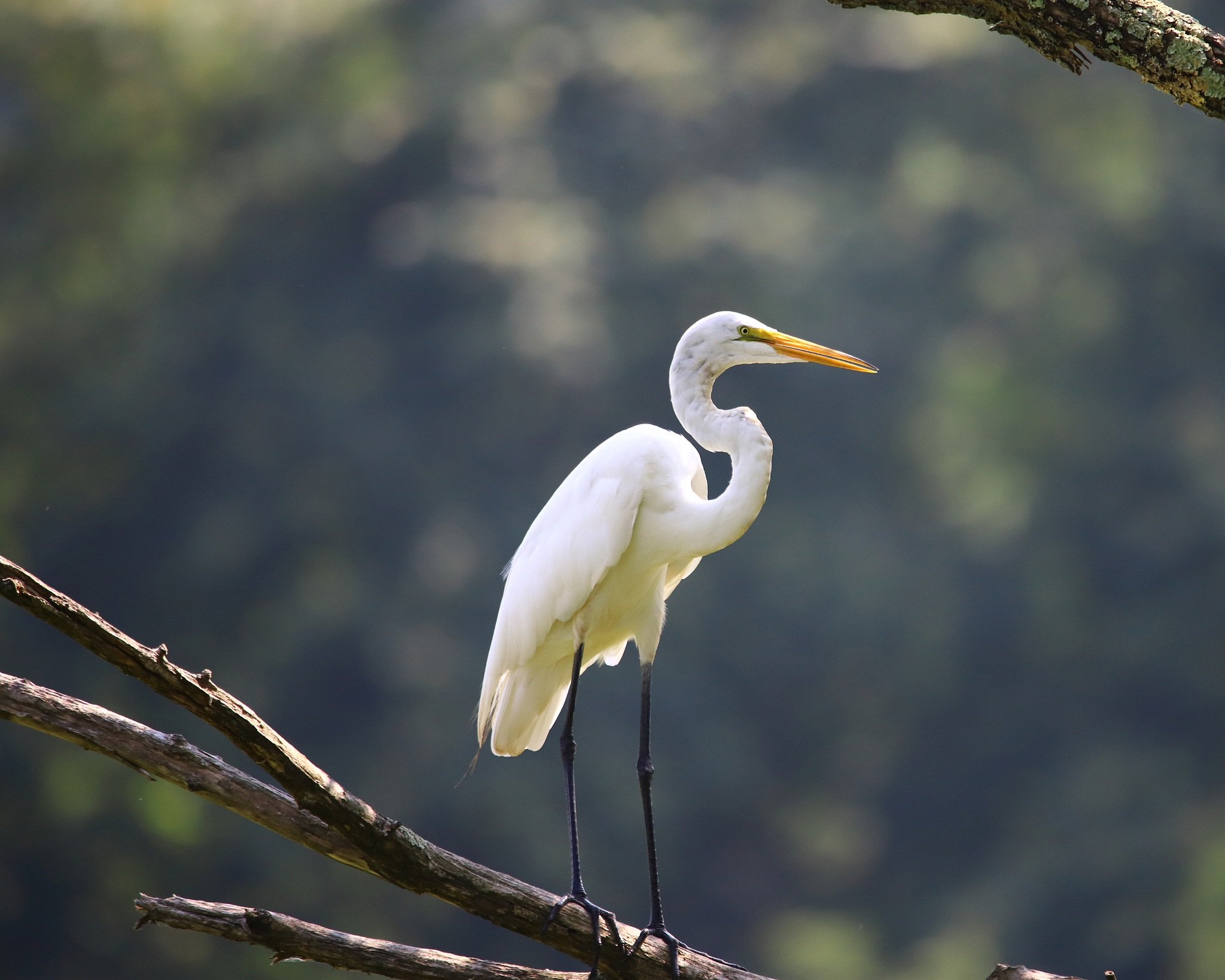 Egret on a branch by SMURFF