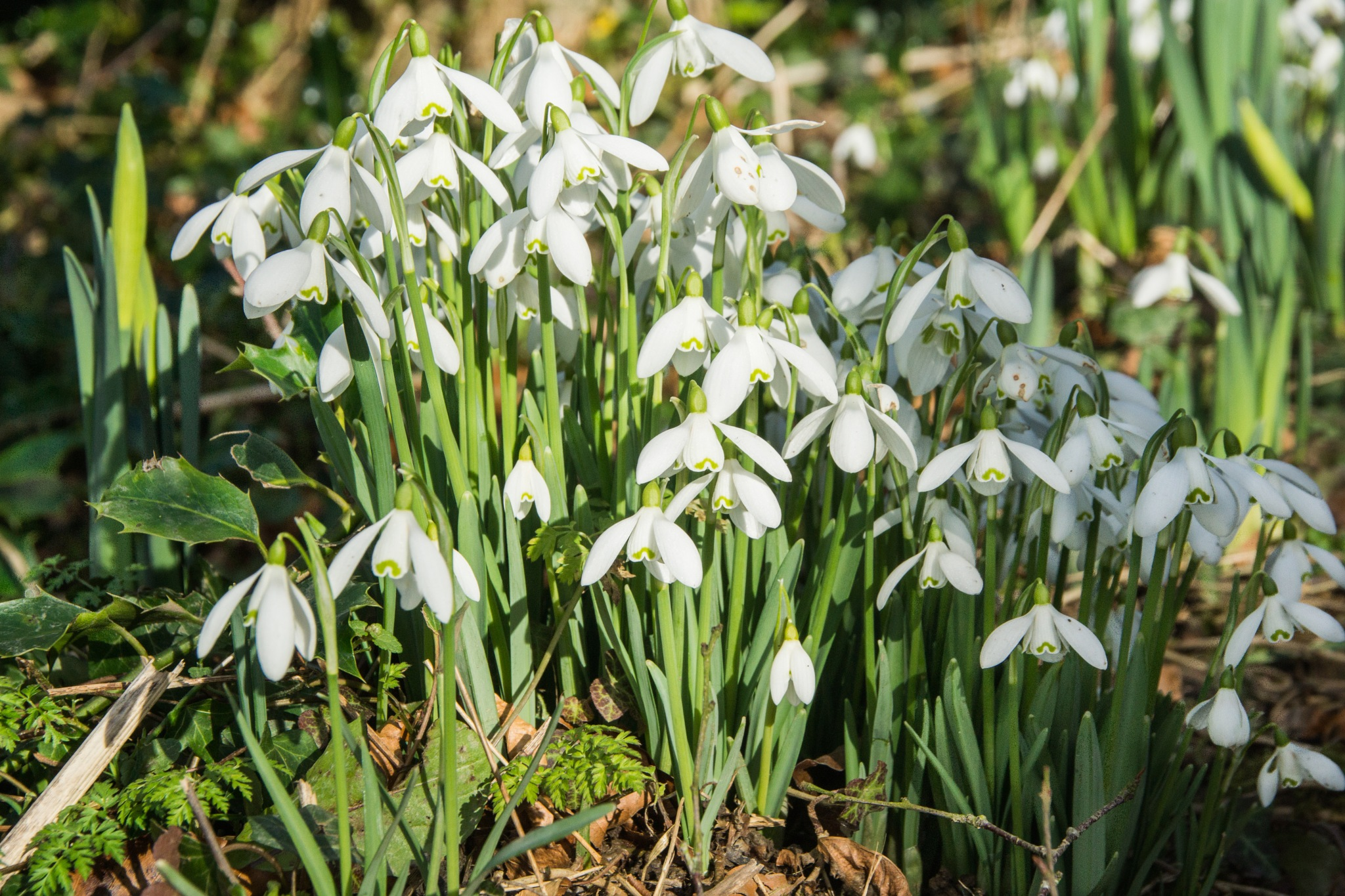 Snowdrops by rfoulkes