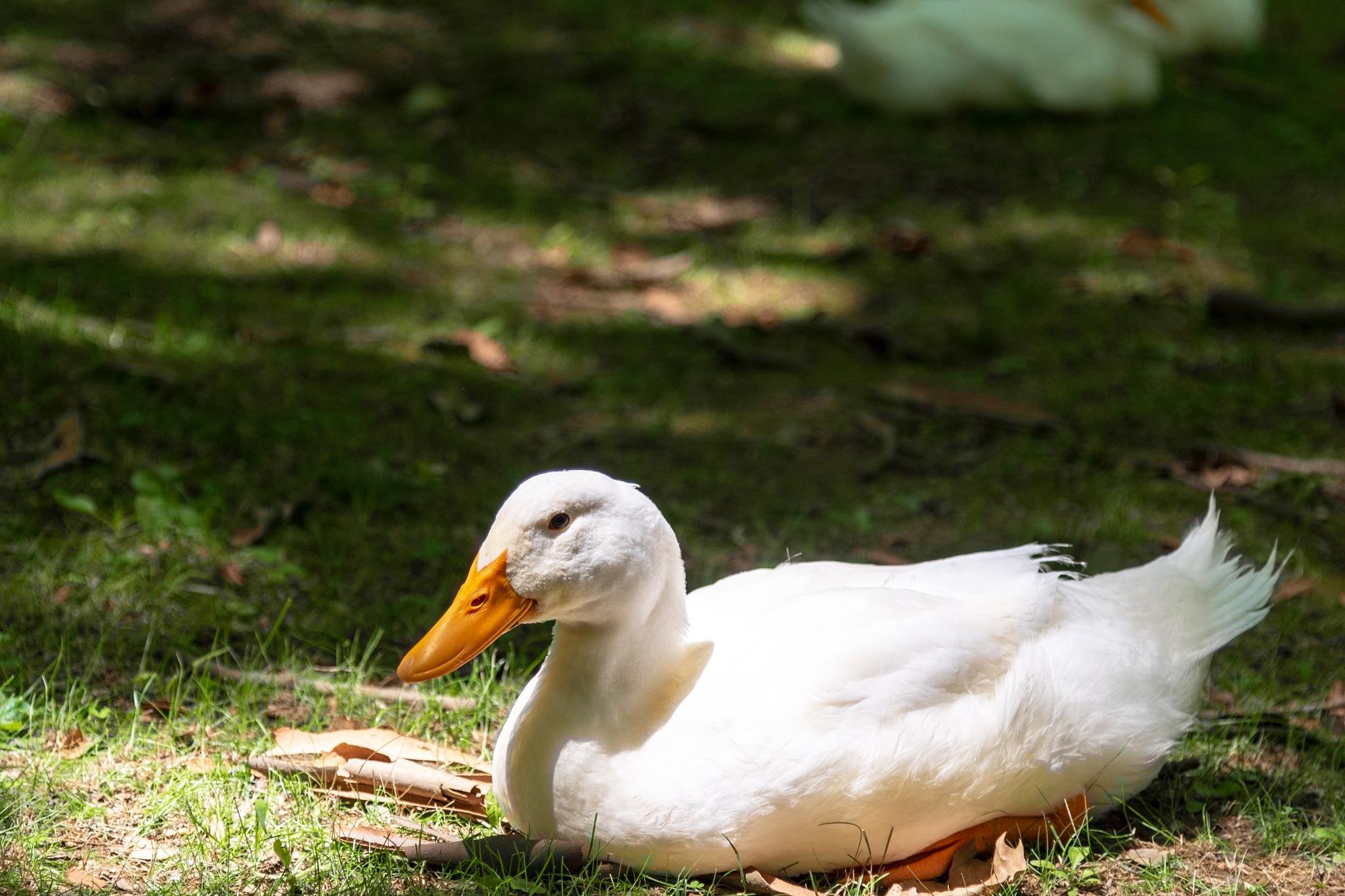 Ilick's Mill Park Ducks 003 by PennyG