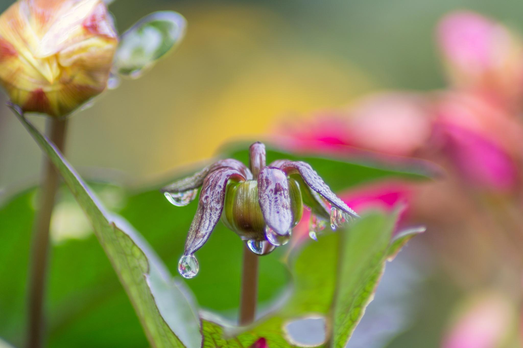 Raindrops from a flower by Marcelo Hernan Zimmt