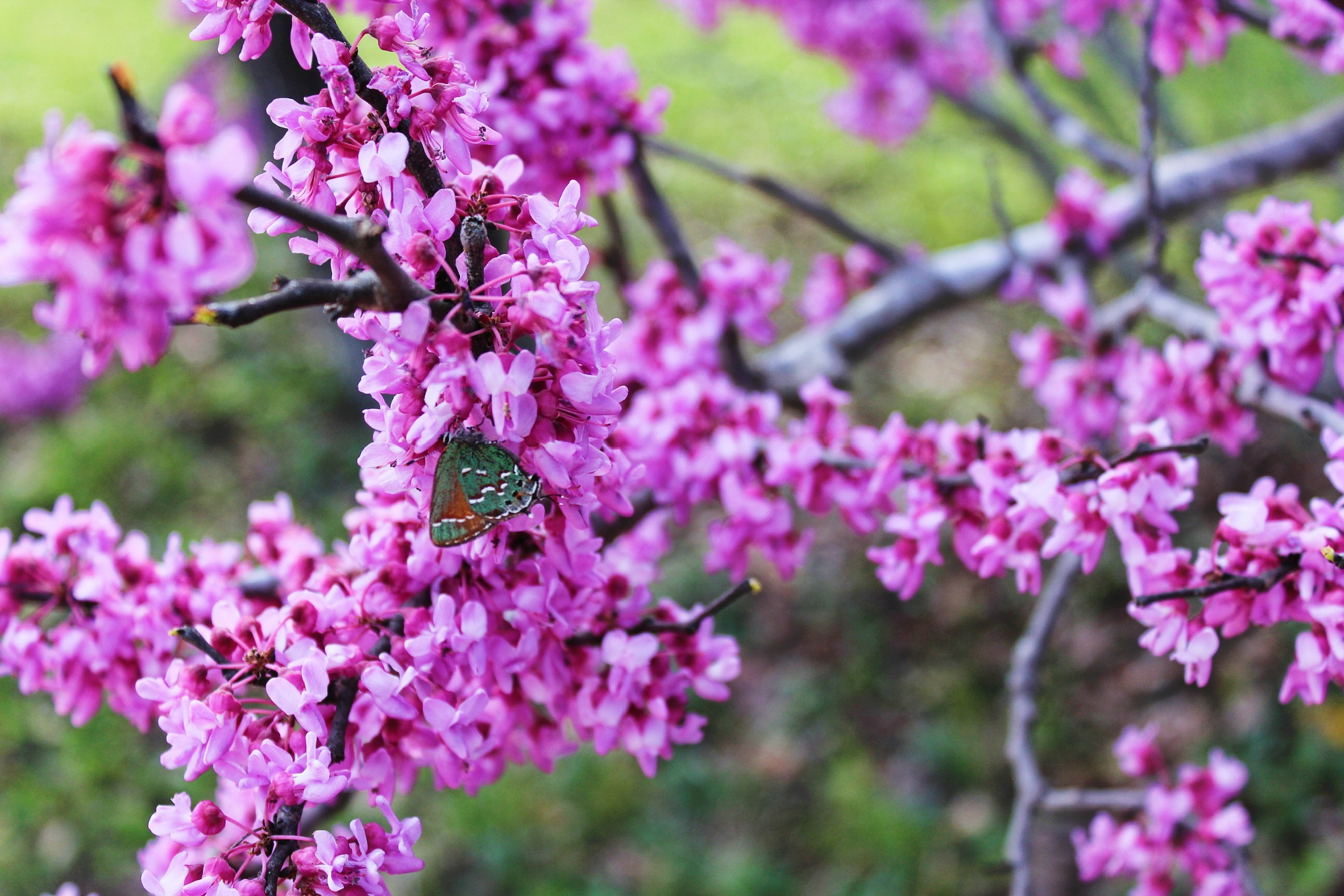 Butterfly on Redbud Tree by Poised Vision Pictorial Arts